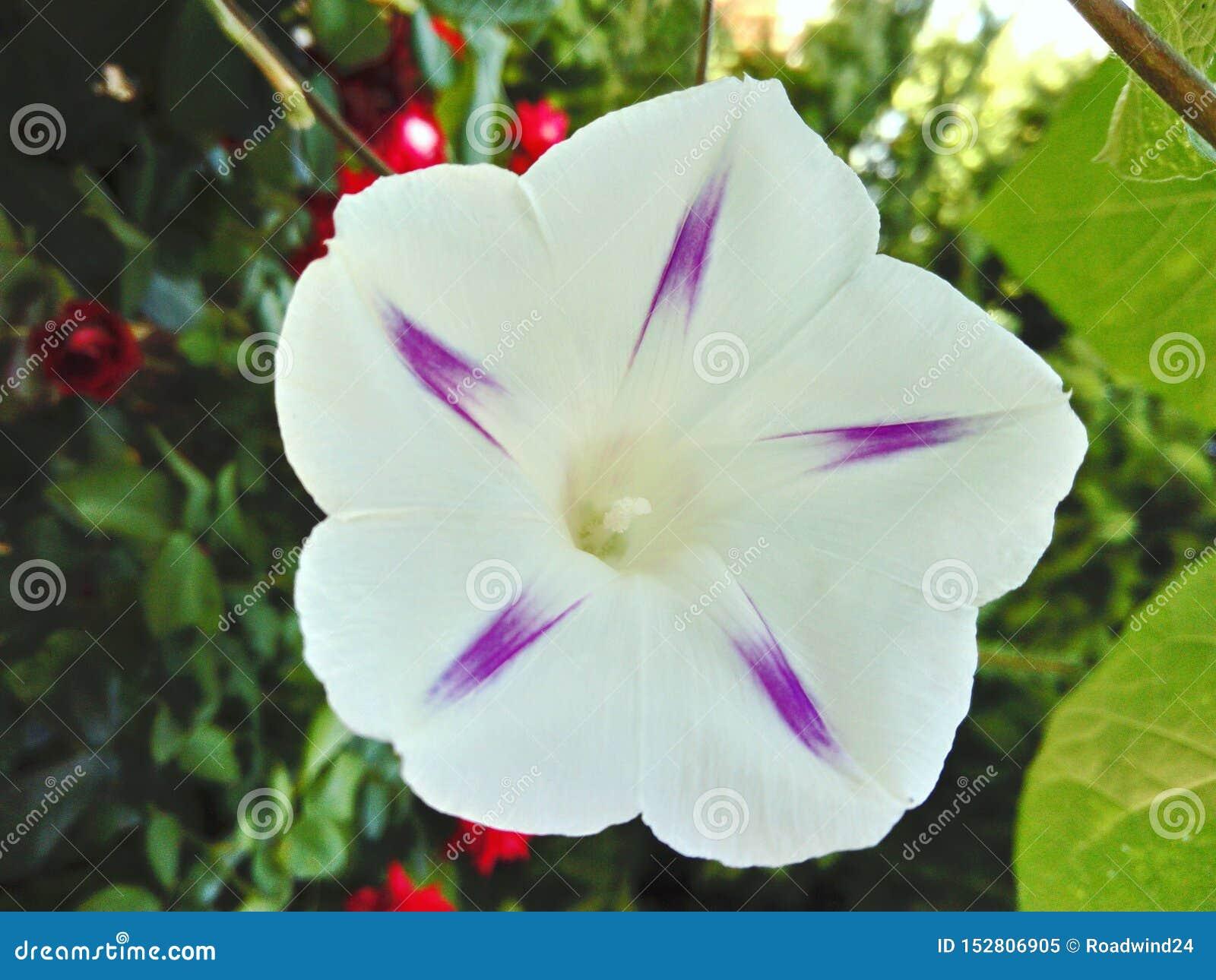 与紫色星形状里面的狂放的白色树篱野生植物花