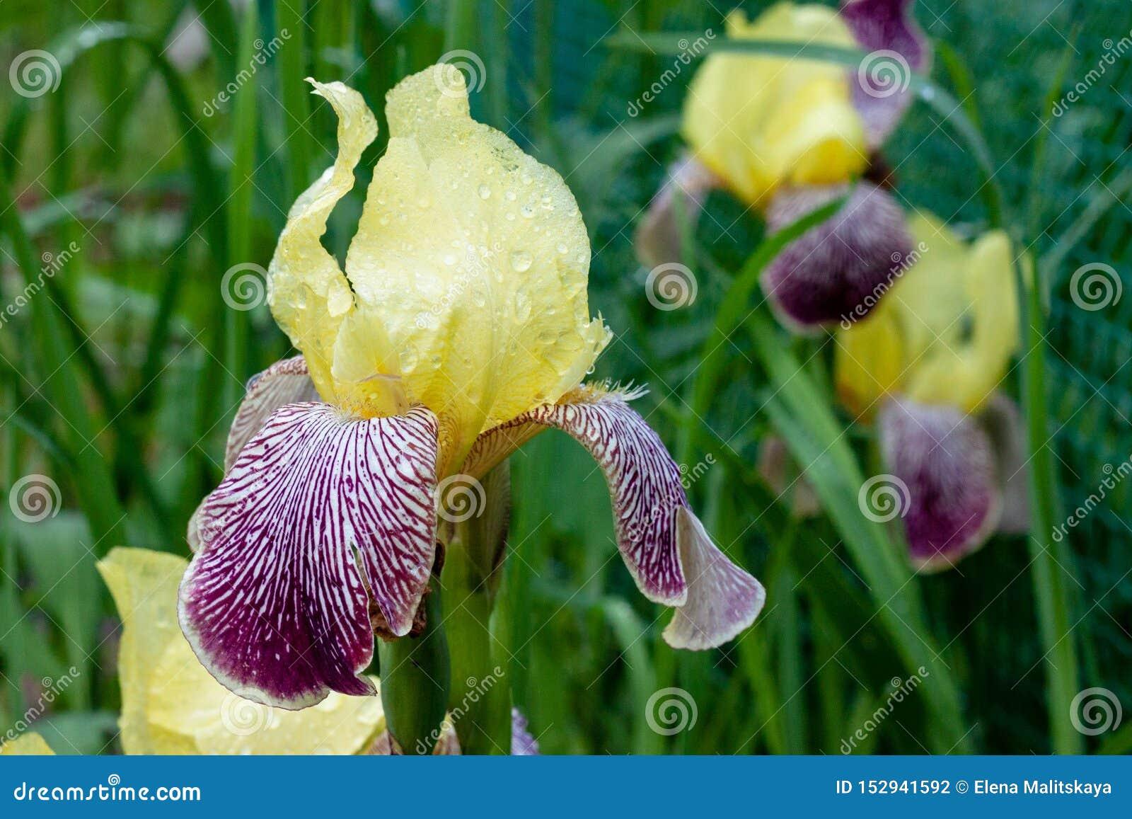 与紫色的美好的虹膜花黄色与露滴