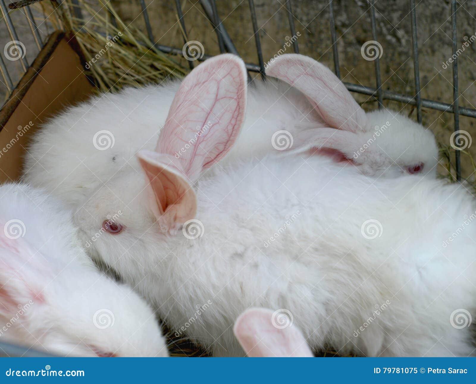 与红色眼睛的白色兔子