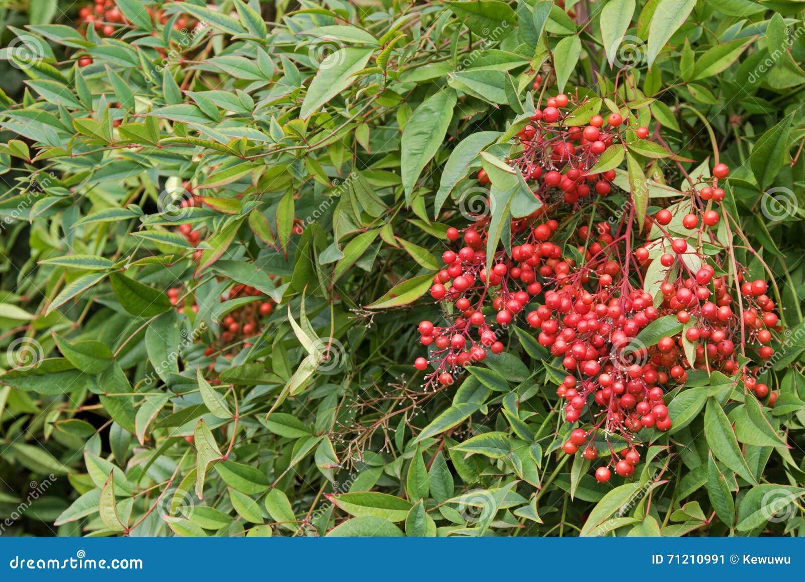 与红色莓果天堂般竹子的亦称神圣的竹子