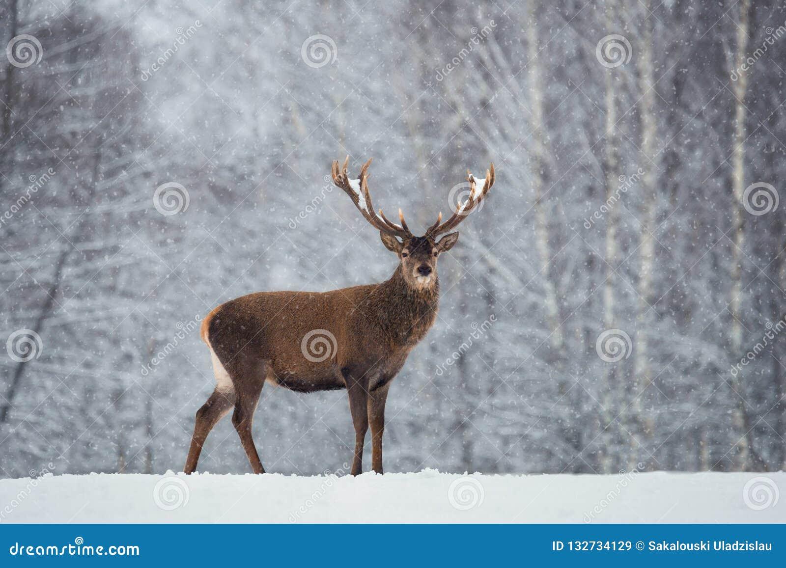 与红色高尚的鹿和落的雪花的圣诞节风景野生生物风景 成人鹿鹿Elaphus,与雪Co的Cervidae