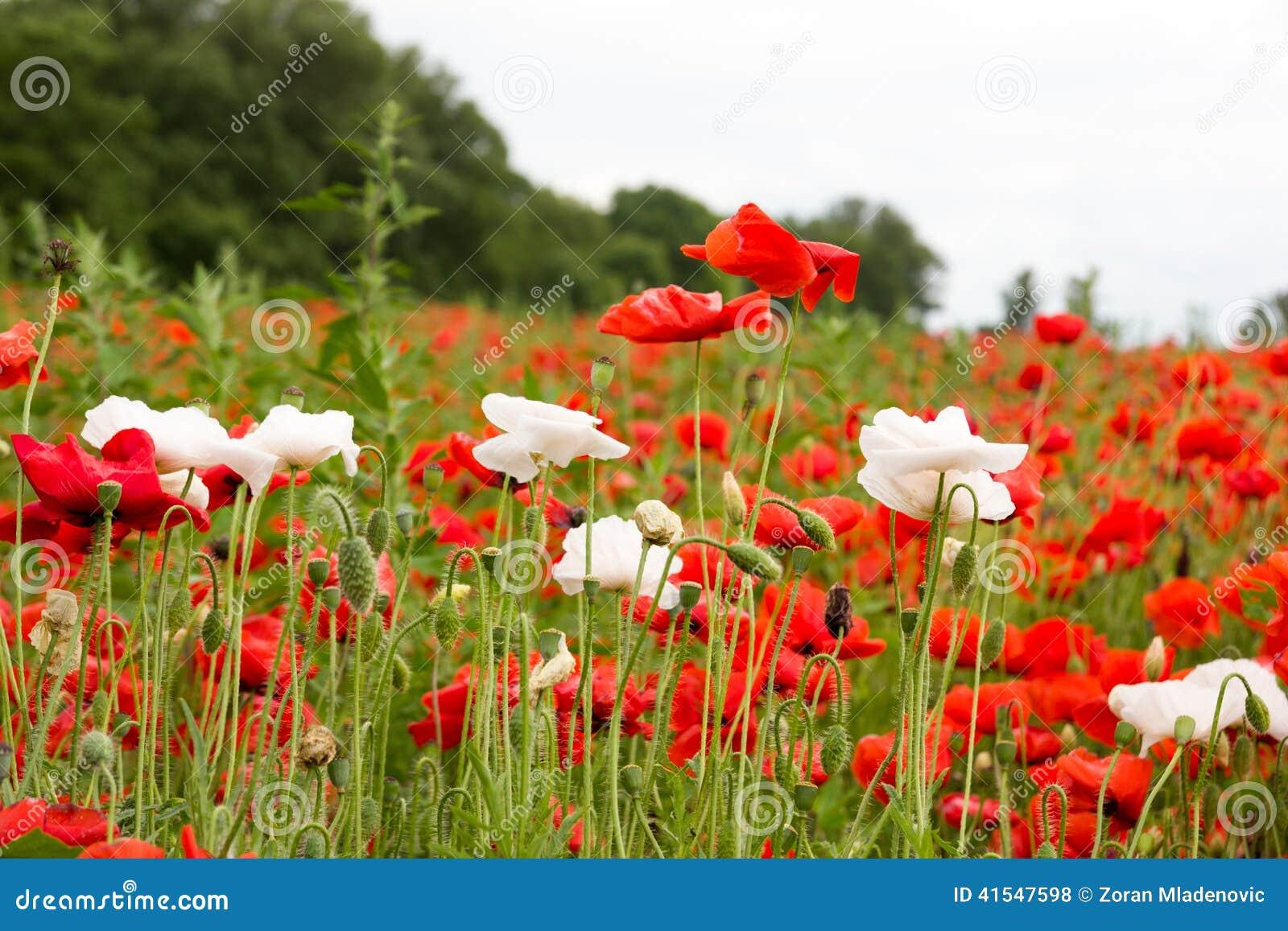 与红色鸦片和白花的五颜六色的夏天领域