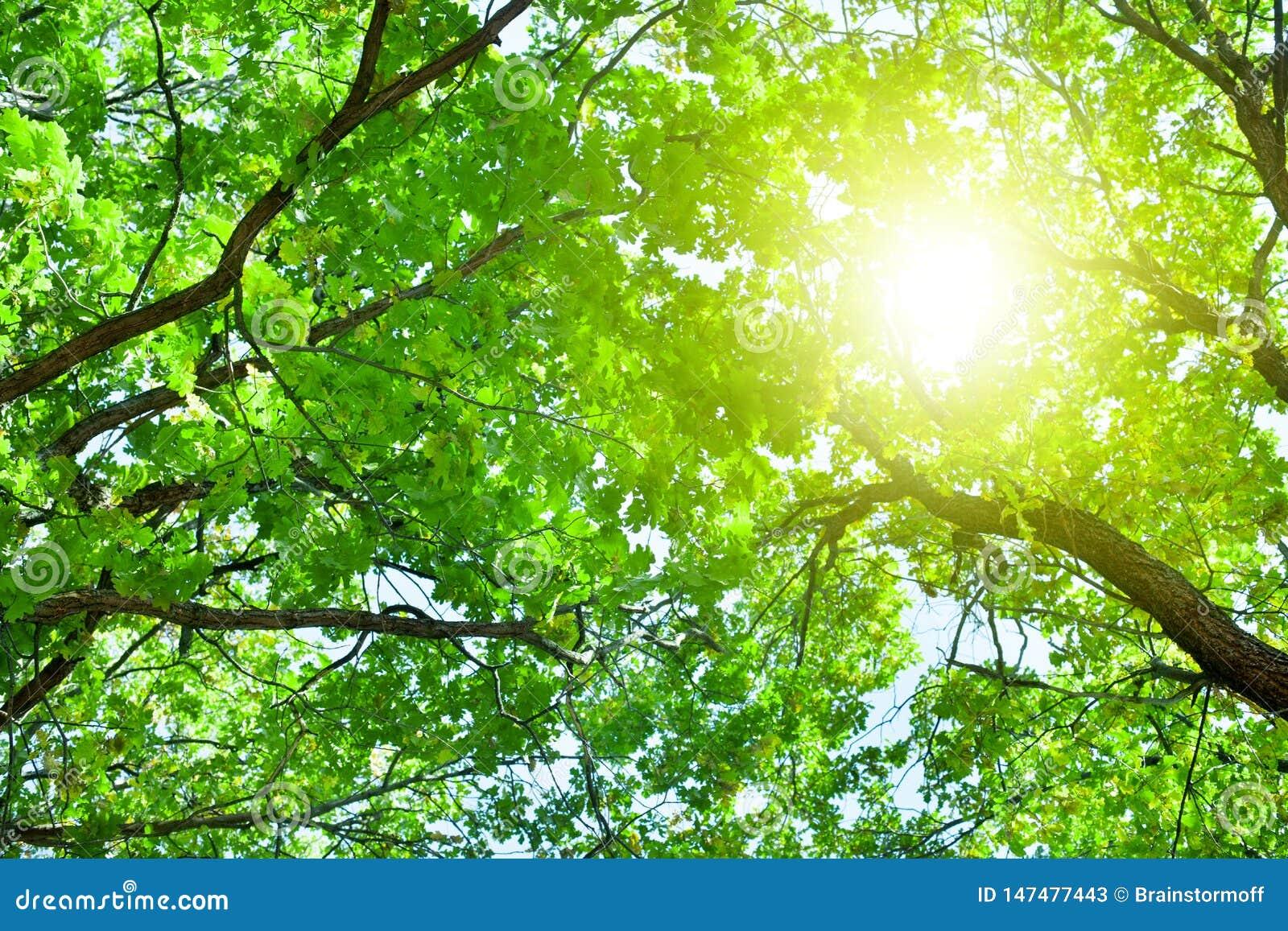 与绿色叶子的橡树分支在天空蔚蓝和明亮的太阳光背景,夏天好日子自然风景