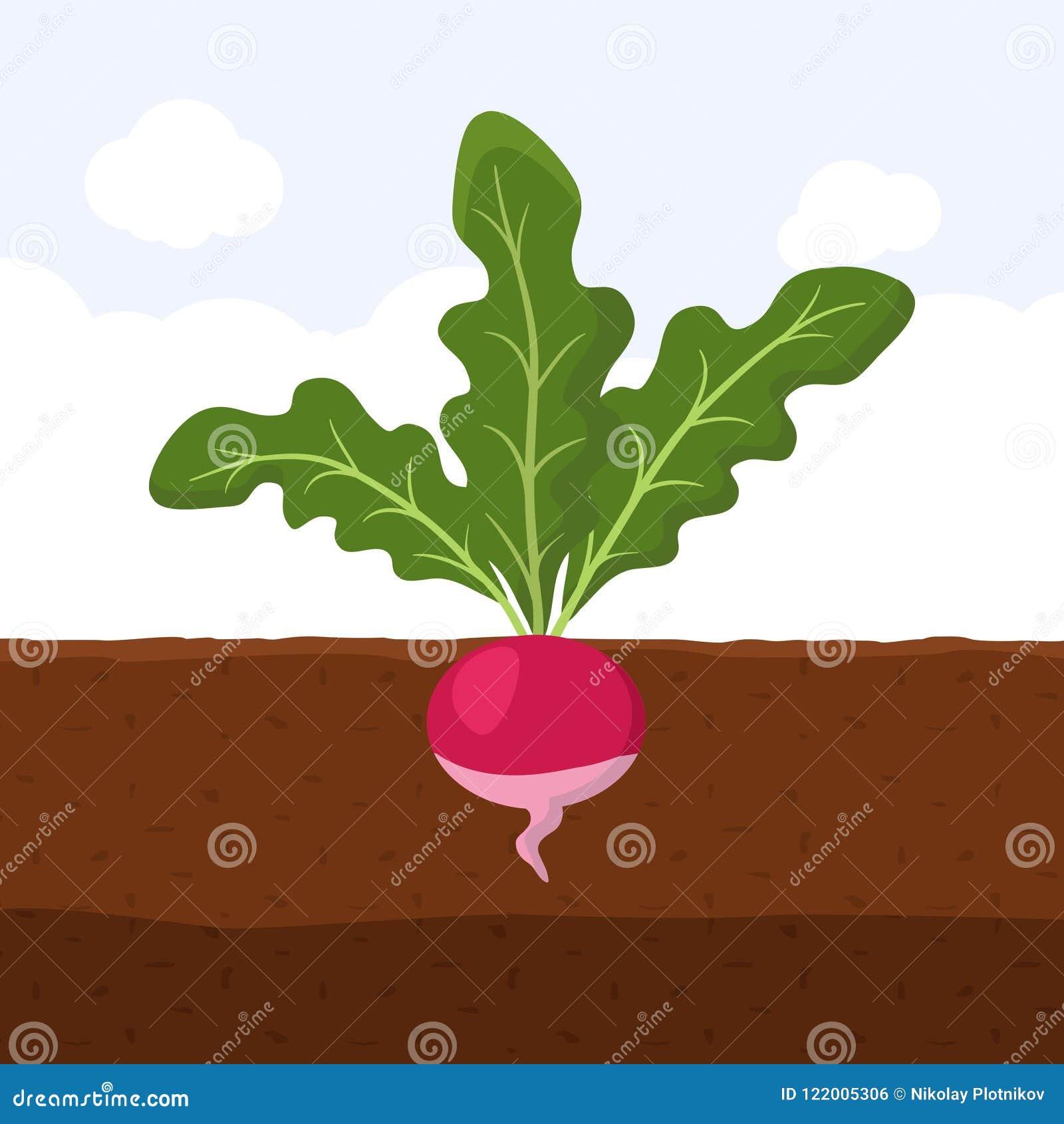 与绿色的萝卜在上面离开在土壤,平展生长新鲜的有机菜园的植物地下图片