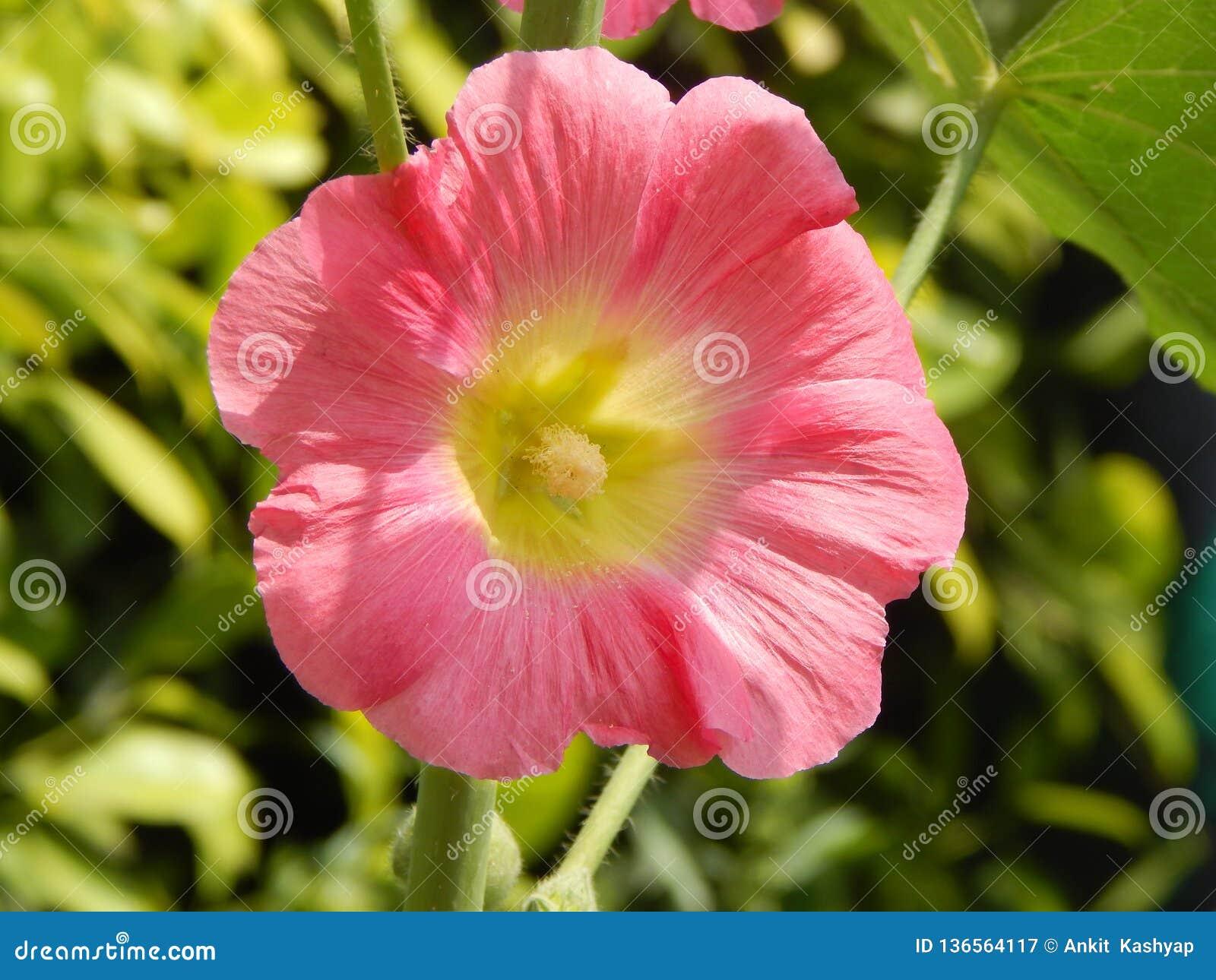 与绿色花粉在中心和绿色bokeh背景的桃红色色的花