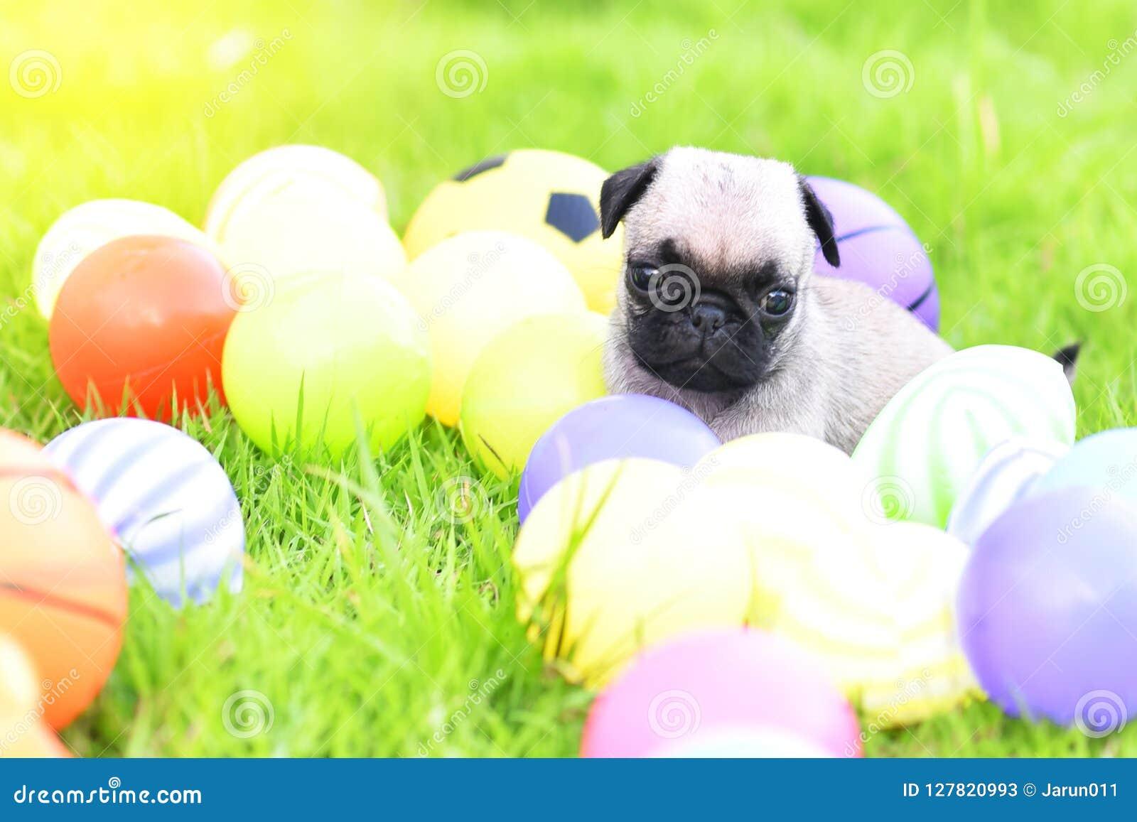 与绿色草坪的逗人喜爱的小狗哈巴狗