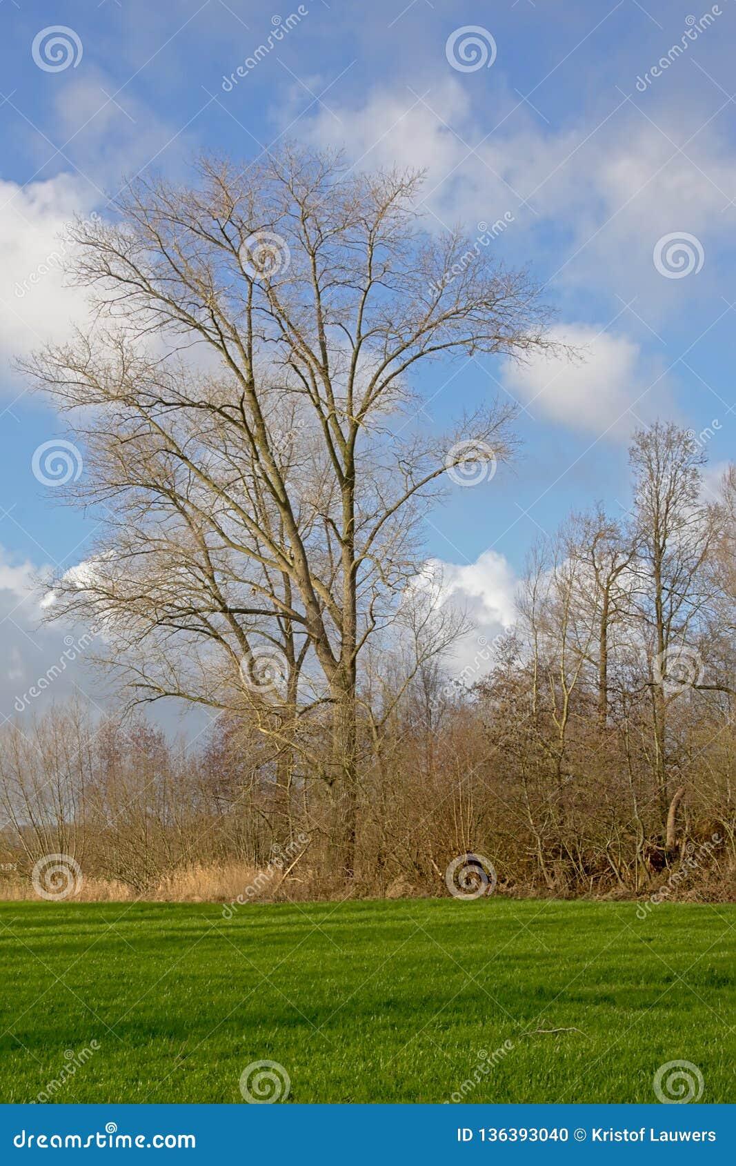 与绿色草甸有枫树树的和被修剪树枝的杨柳的风景在富兰德
