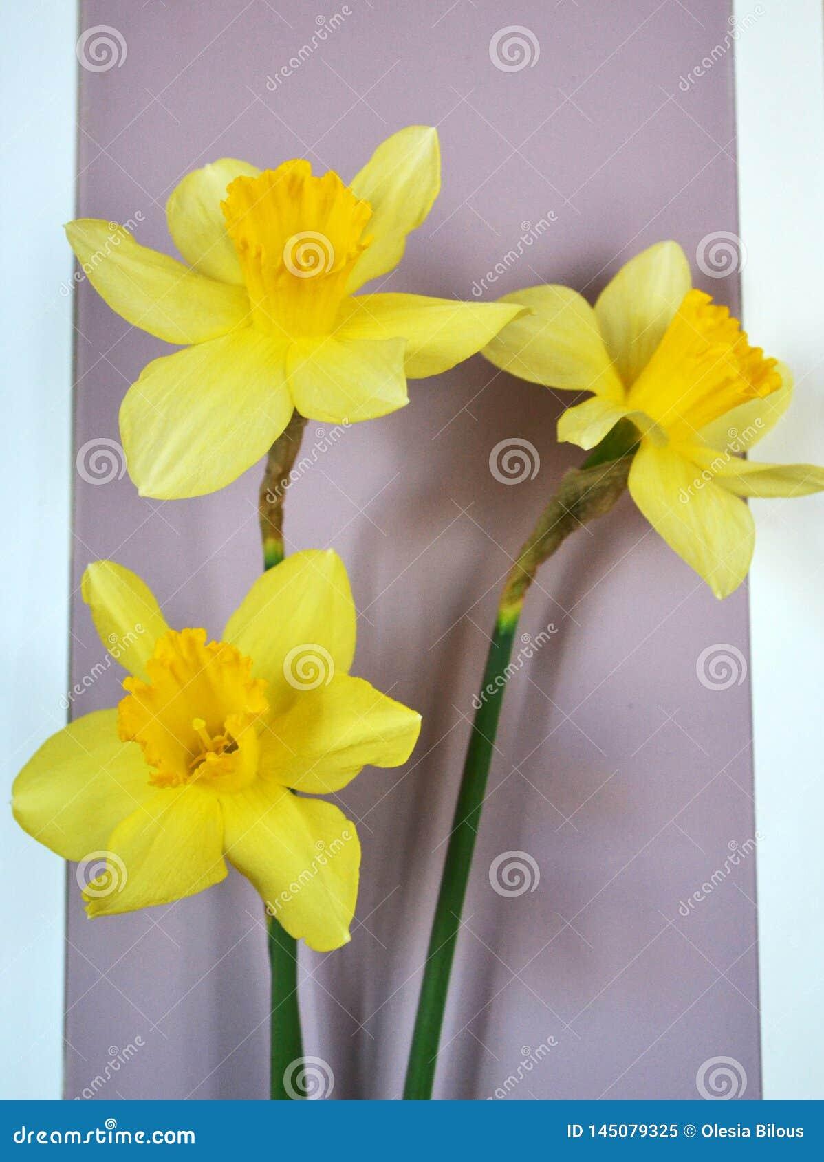 与绿色词根的三个明亮的黄色黄水仙