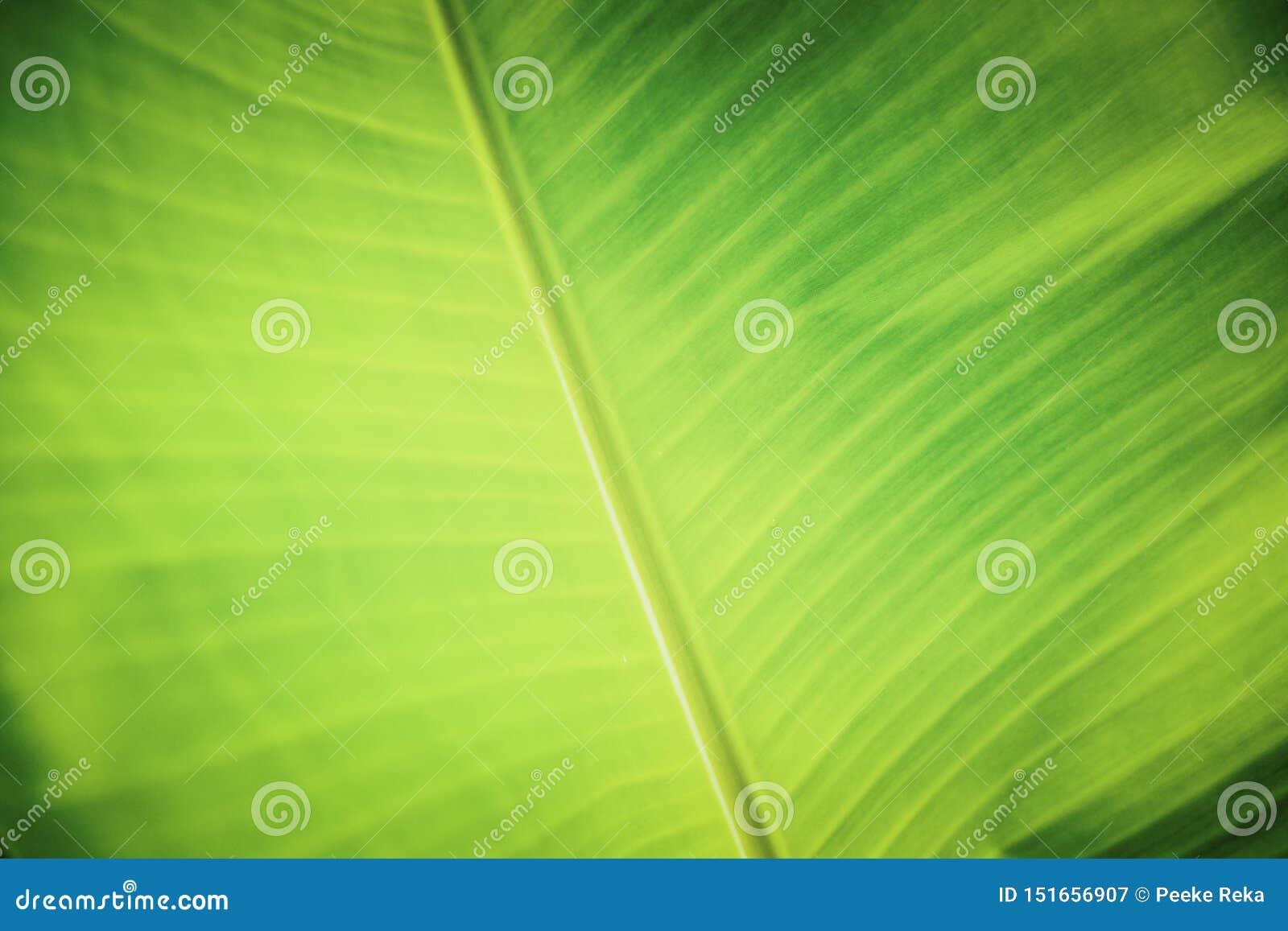 与绿色香蕉叶子的背景纹理