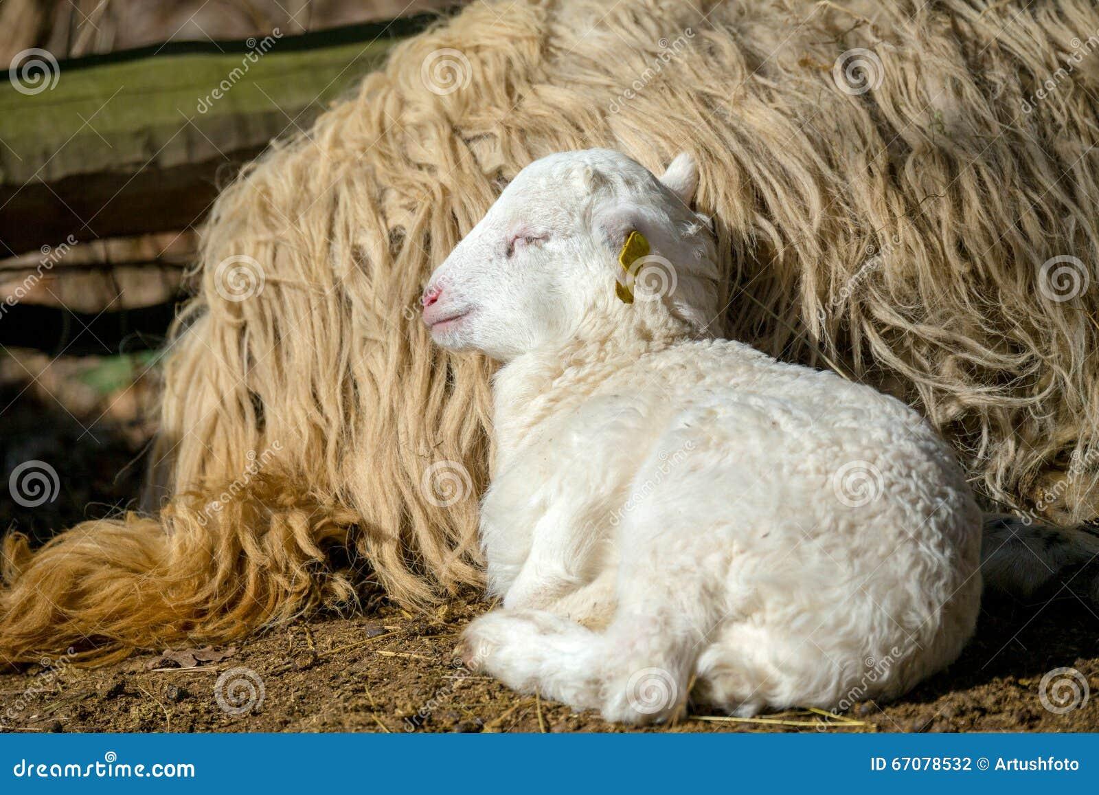 与羊羔的绵羊在农村农场