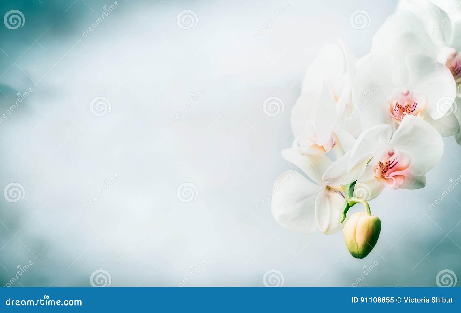与美丽的白色兰花的花卉边界开花在蓝色背景 自然、温泉或者健康