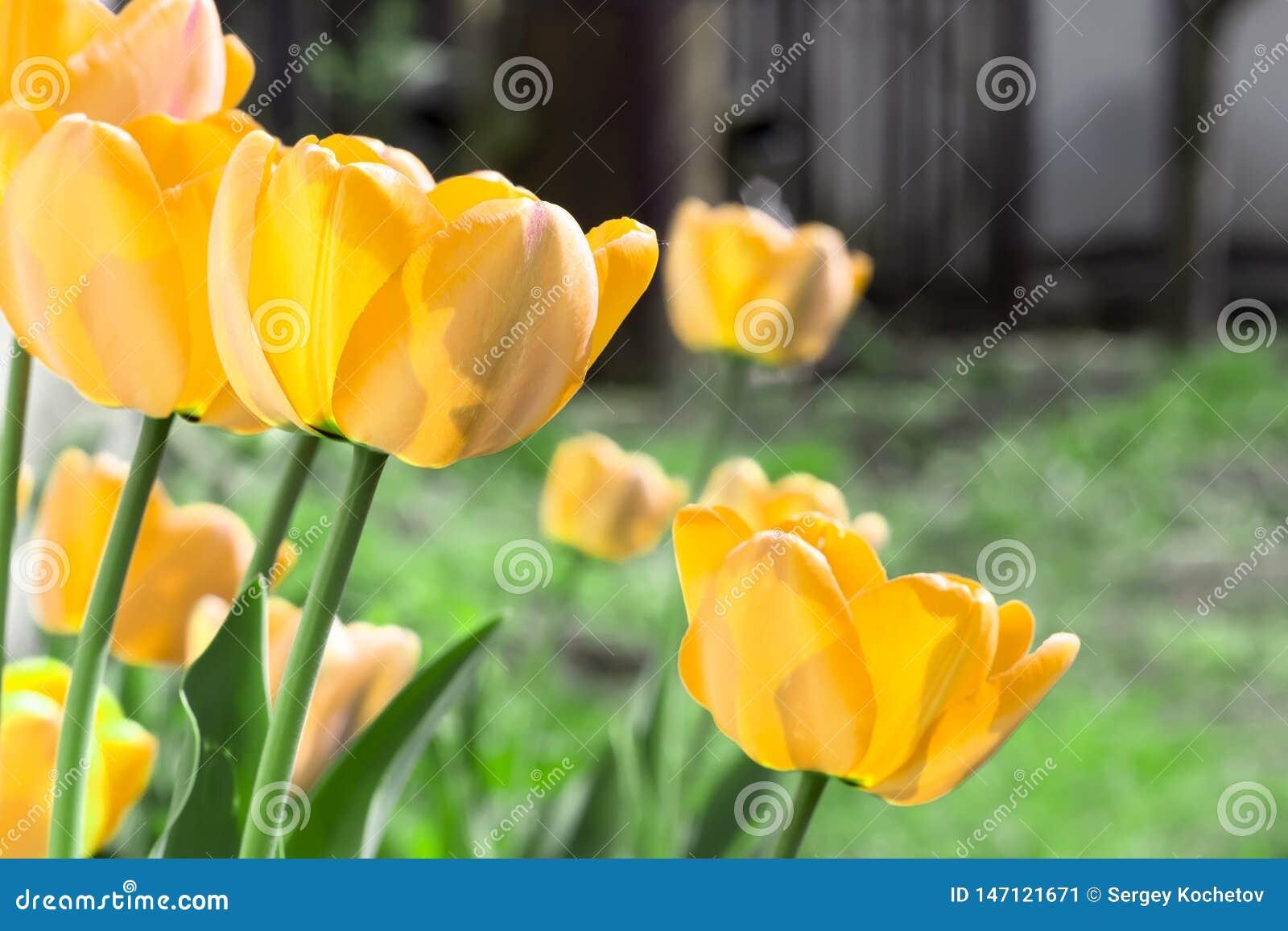 与美丽的黄色郁金香的春天背景在庭院里
