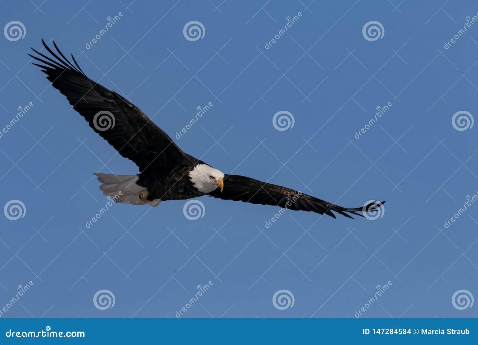 与翼传播的白头鹰飞行