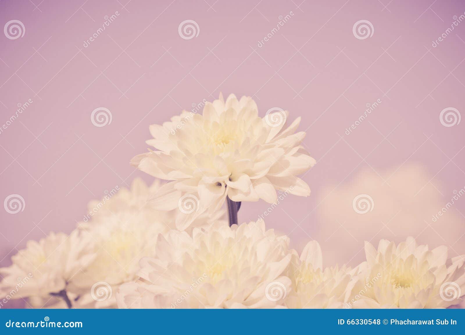 与老黑暗的桃红色滤色器的白色菊花花