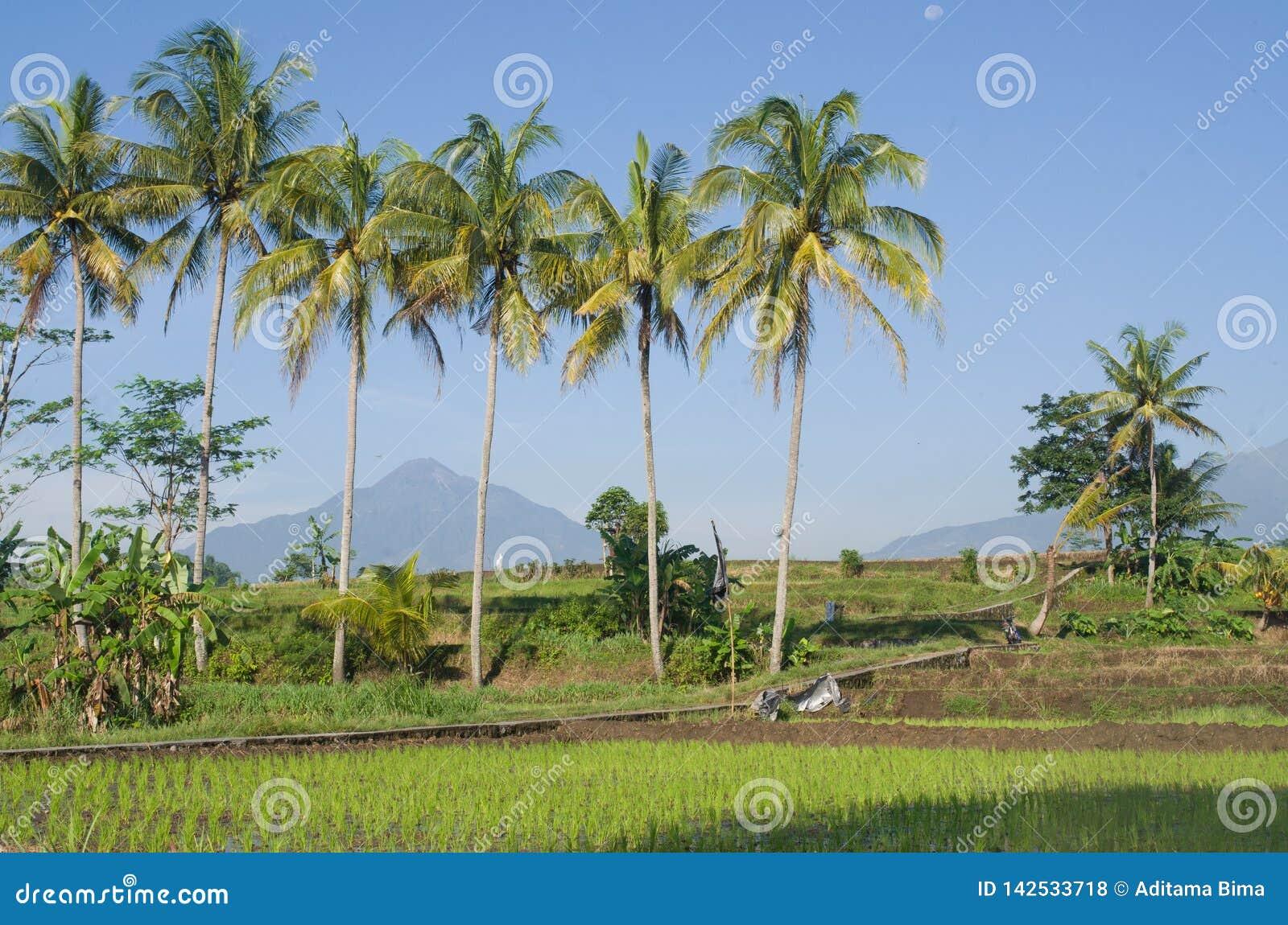 与背景天空蔚蓝和山的树椰子