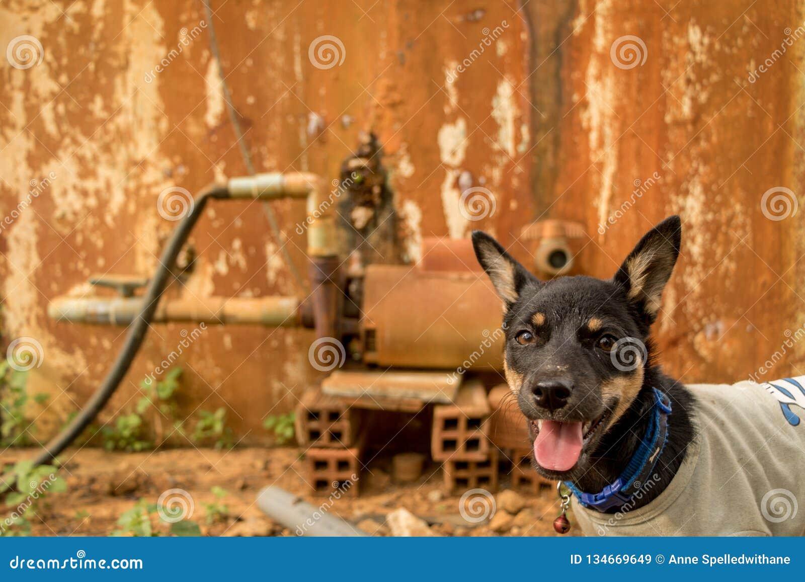 与舌头外的宠物佩带的T恤杉的愉快的小的小狗-与好奇面孔的狗-葡萄酒五颜六色的背景