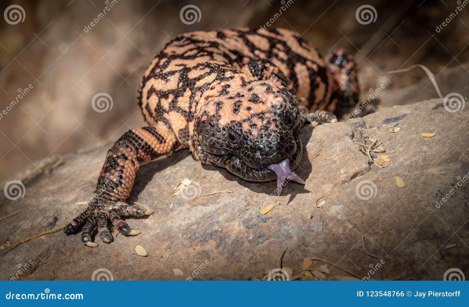 与舌头的大毒蜥怪物Heloderma suspectum有毒蜥蜴延伸了
