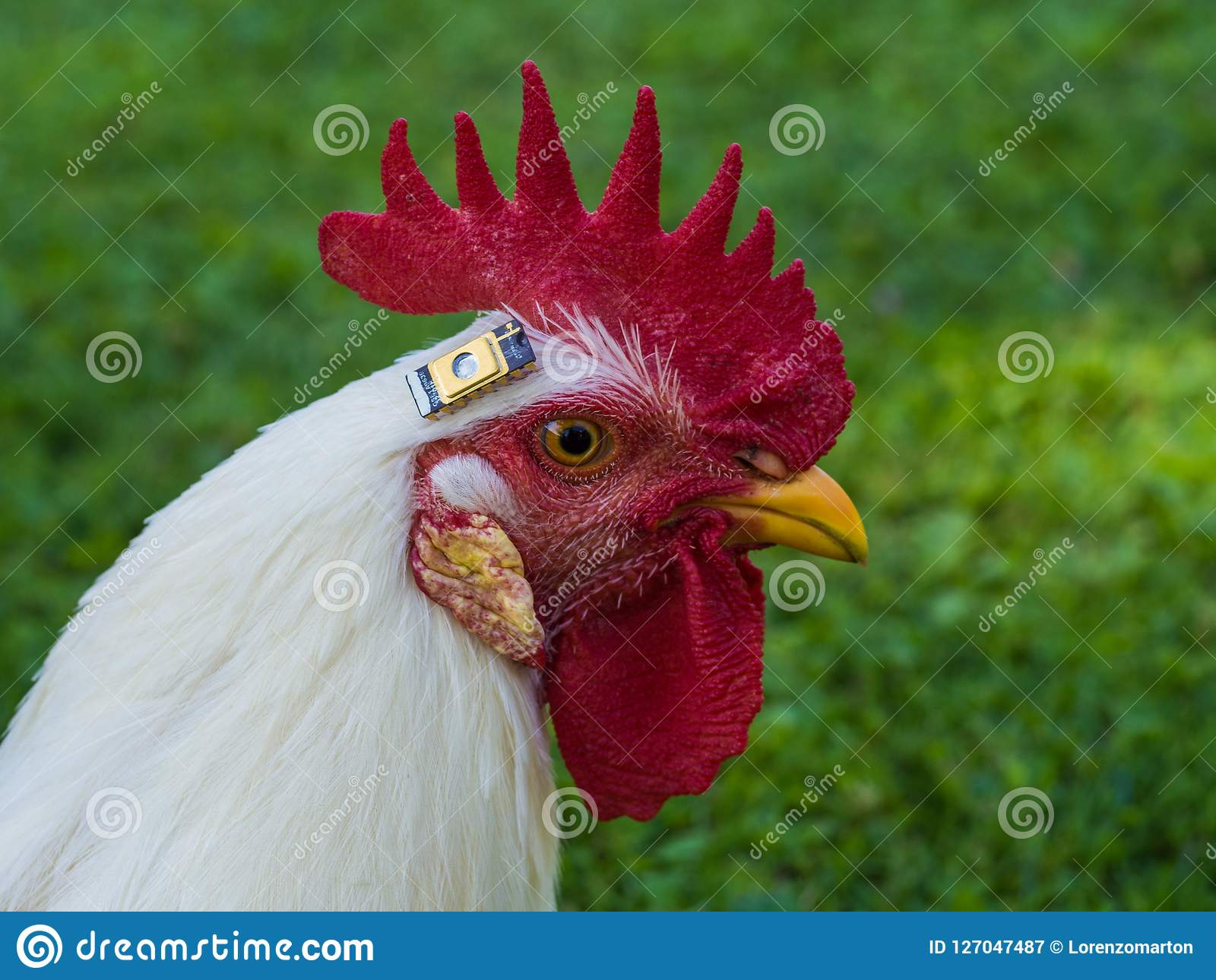 与芯片的一只鸡