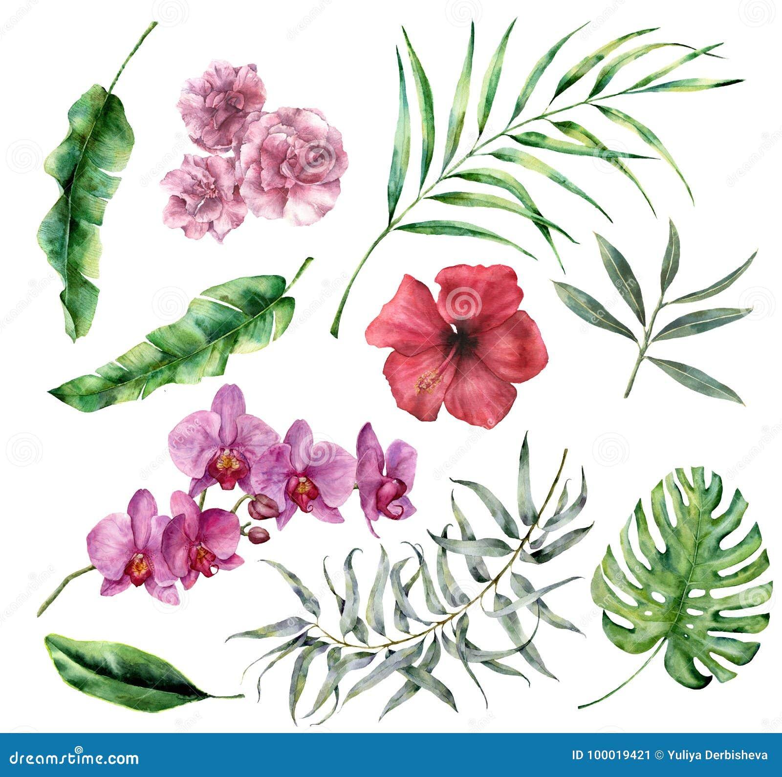与花和叶子的水彩热带集合 手画棕榈, monstera,木槿,兰花,夹竹桃,玉树