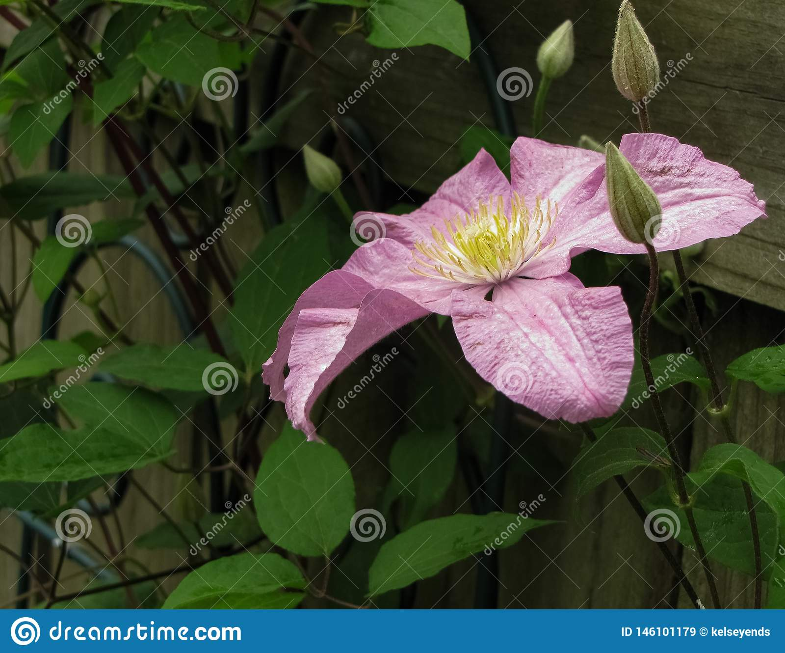 与芽的浅紫色的Clementis花