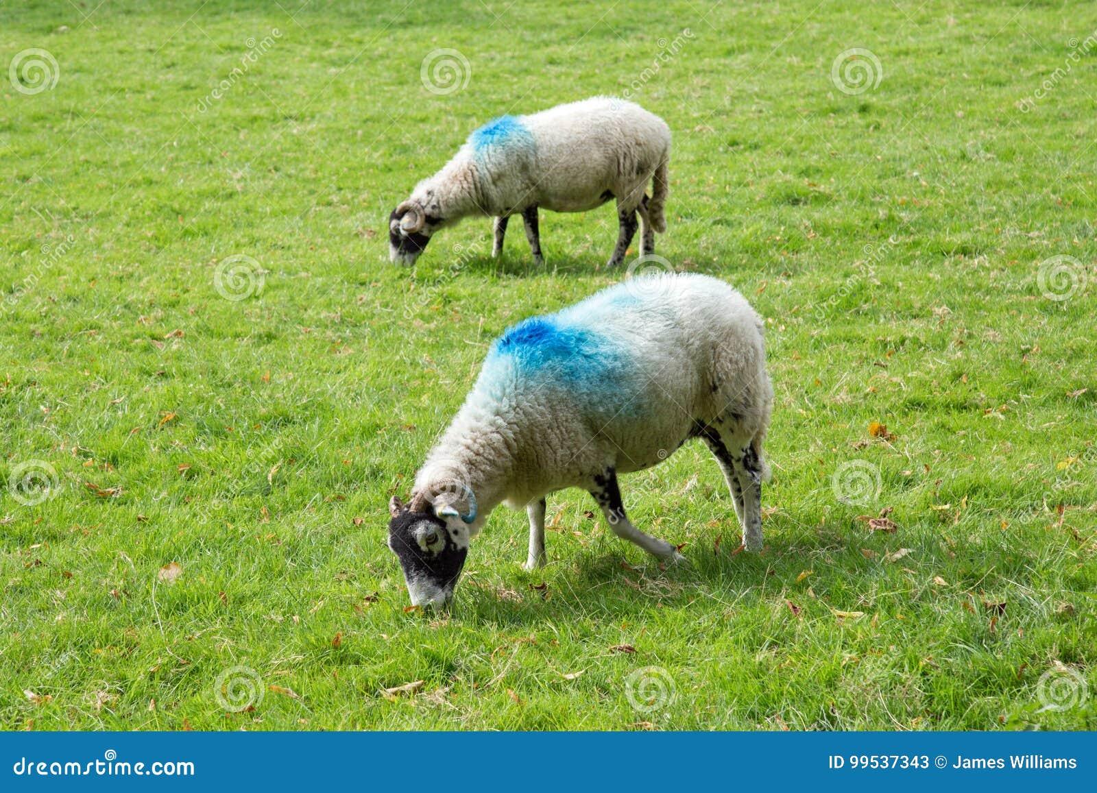 与蓝色油漆标记的白羊
