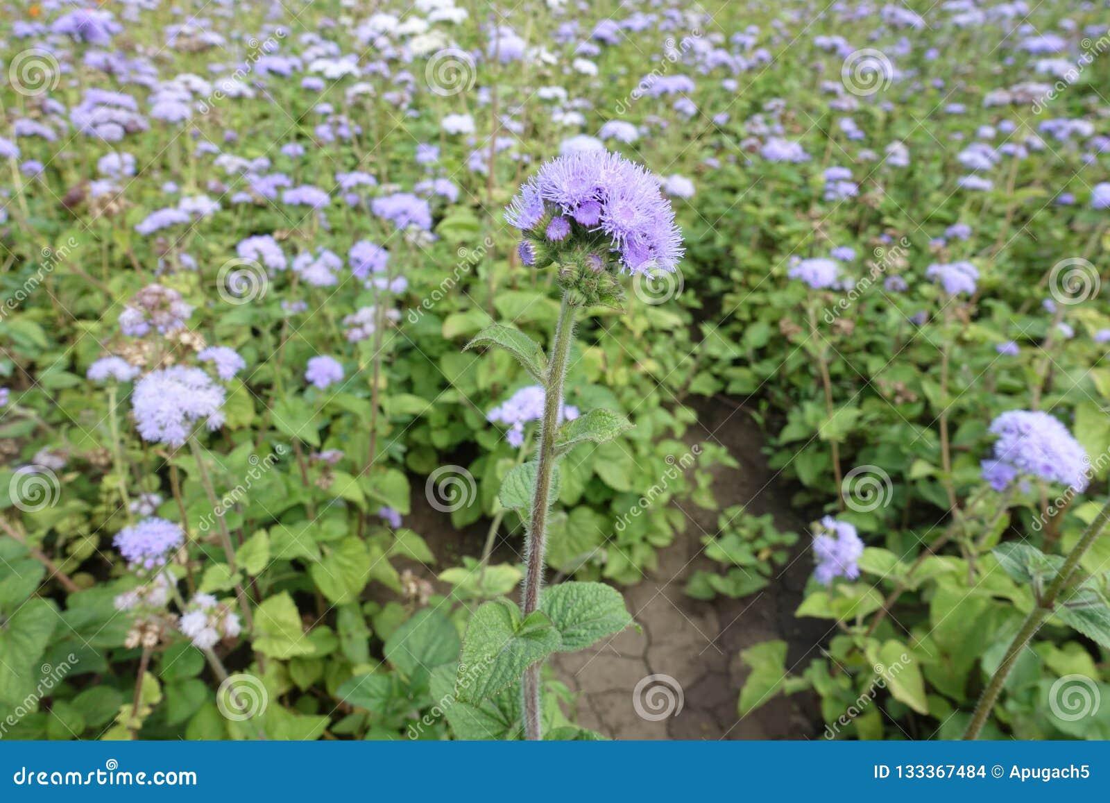 与藿香蓟属houstonianum紫罗兰色花的笔直词根