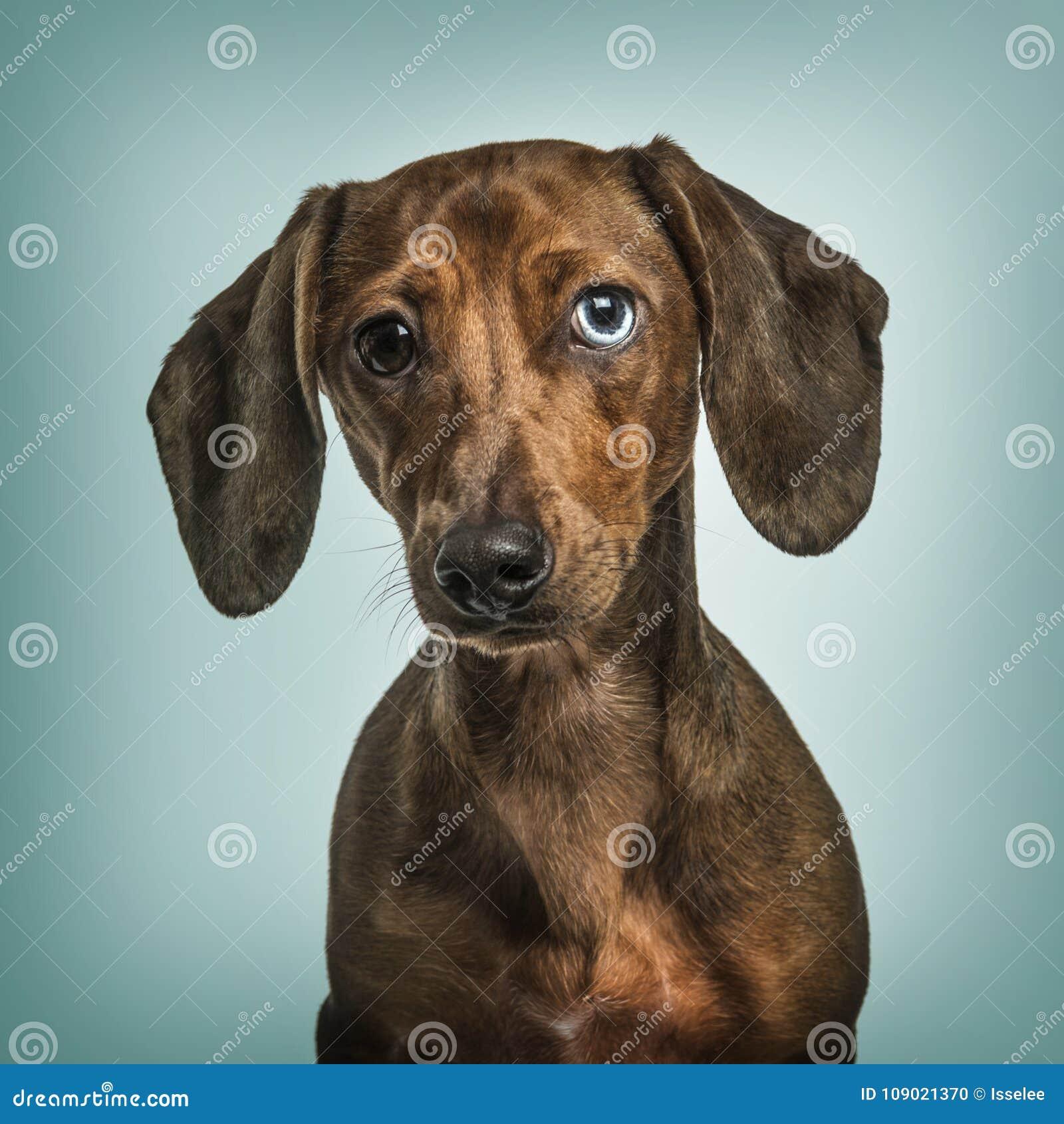与虹膜异色症的达克斯猎犬反对绿松石背景