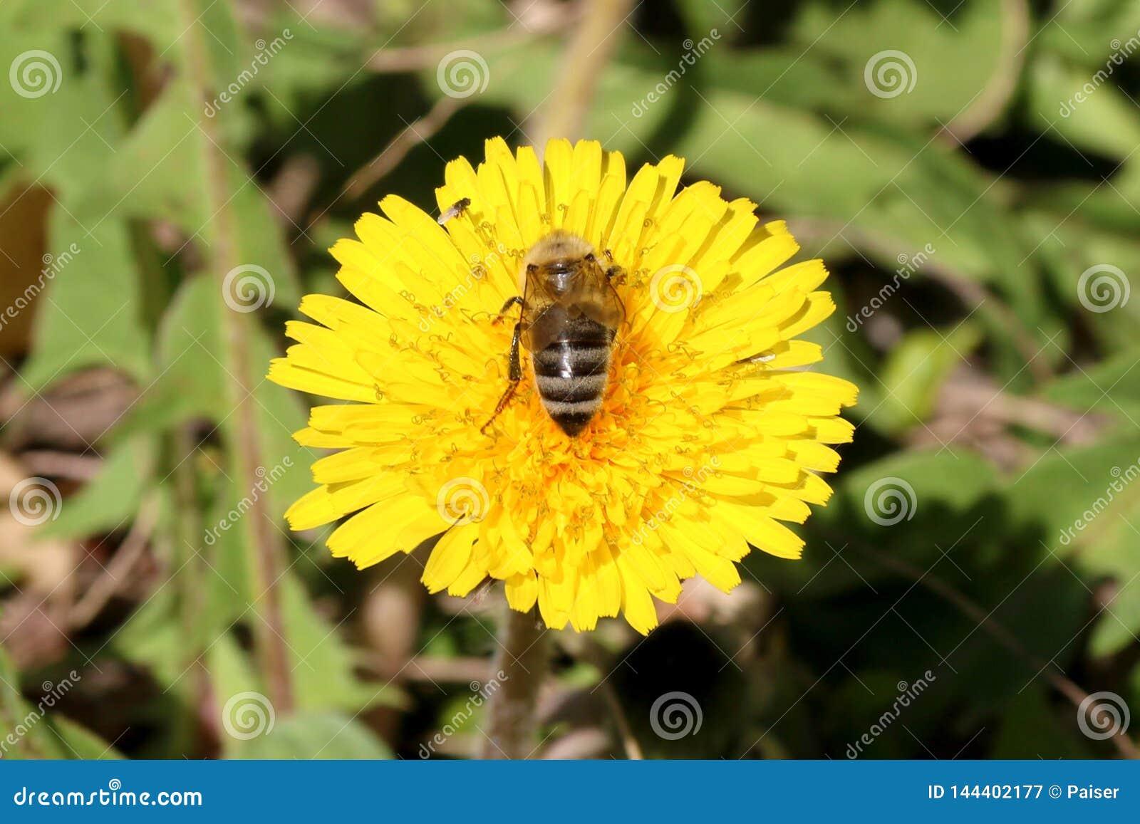 与蜂蜜蜂的黄色花蒲公英蒲公英在草甸 在绿草草甸背景的明亮的花蒲公英