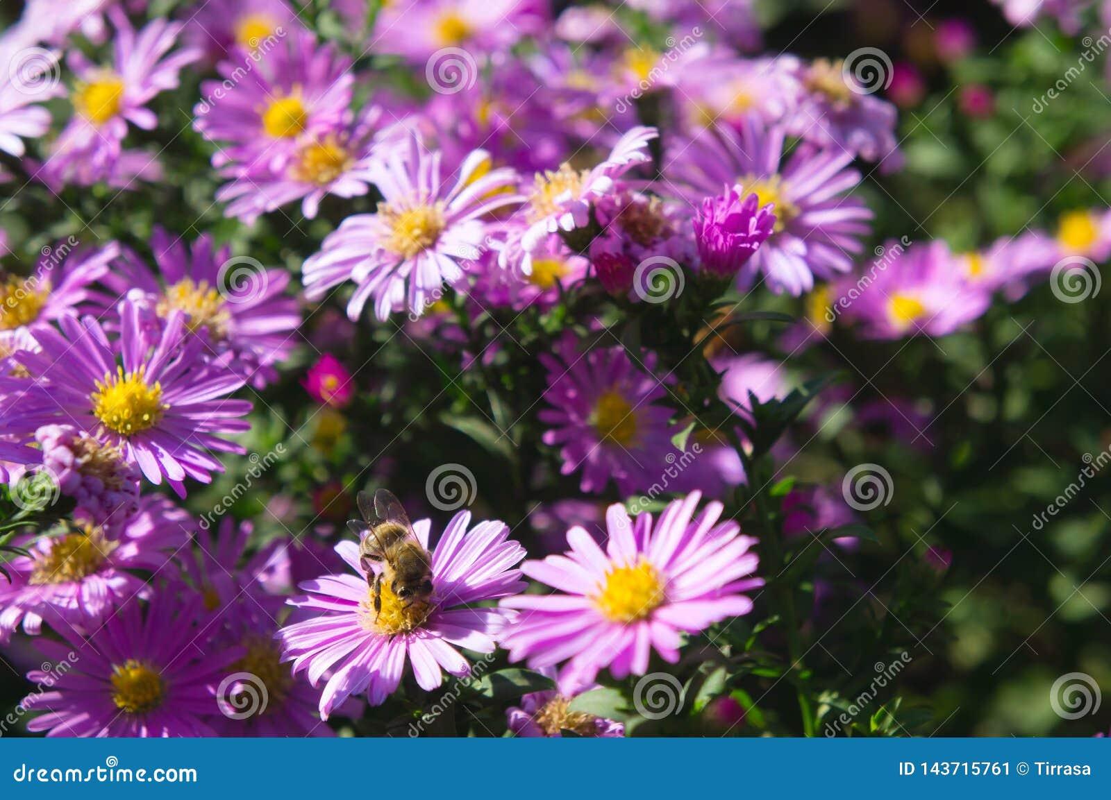 与蜜蜂的桃红色翠菊花