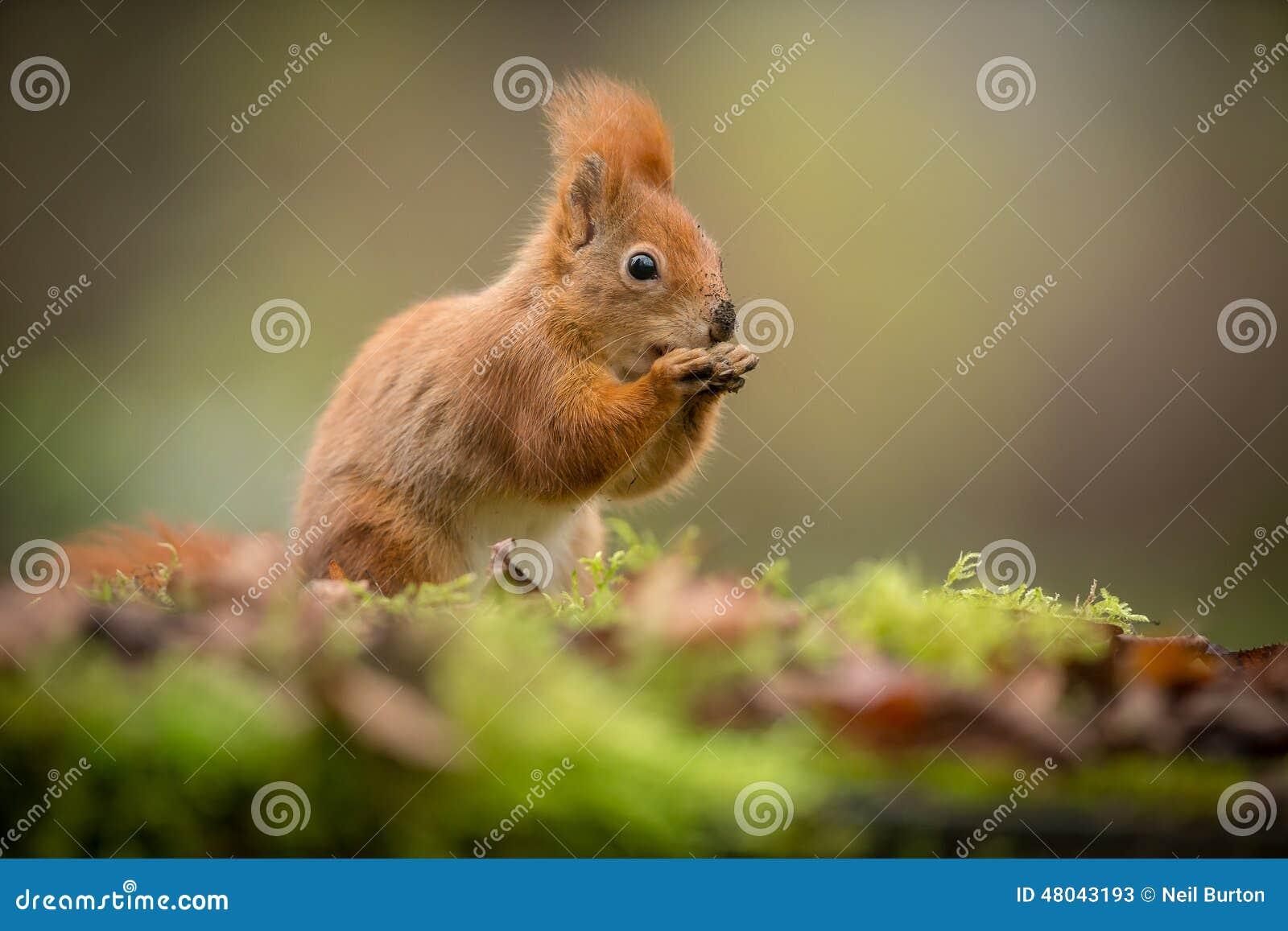 与被弄脏的周围的红松鼠