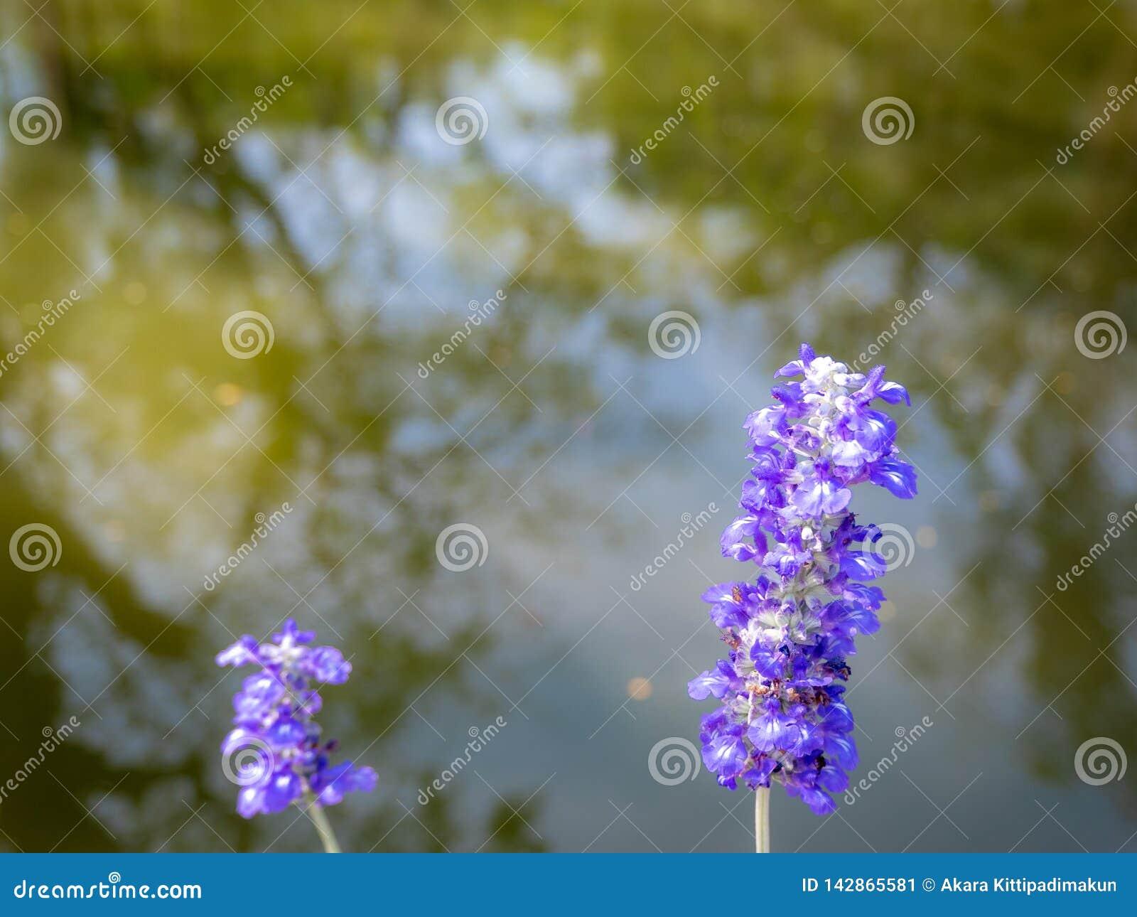 与被弄脏的树的小紫罗兰色花在河反射
