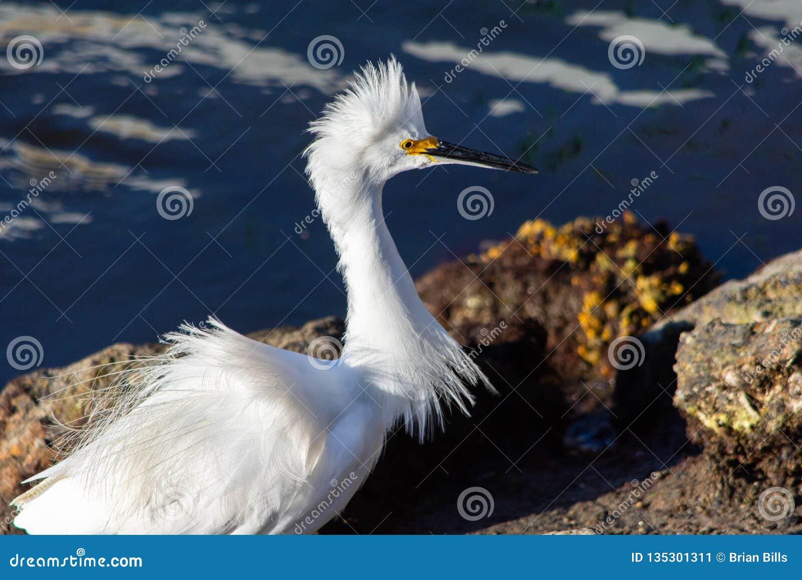 与被翻动的全身羽毛的白色白鹭