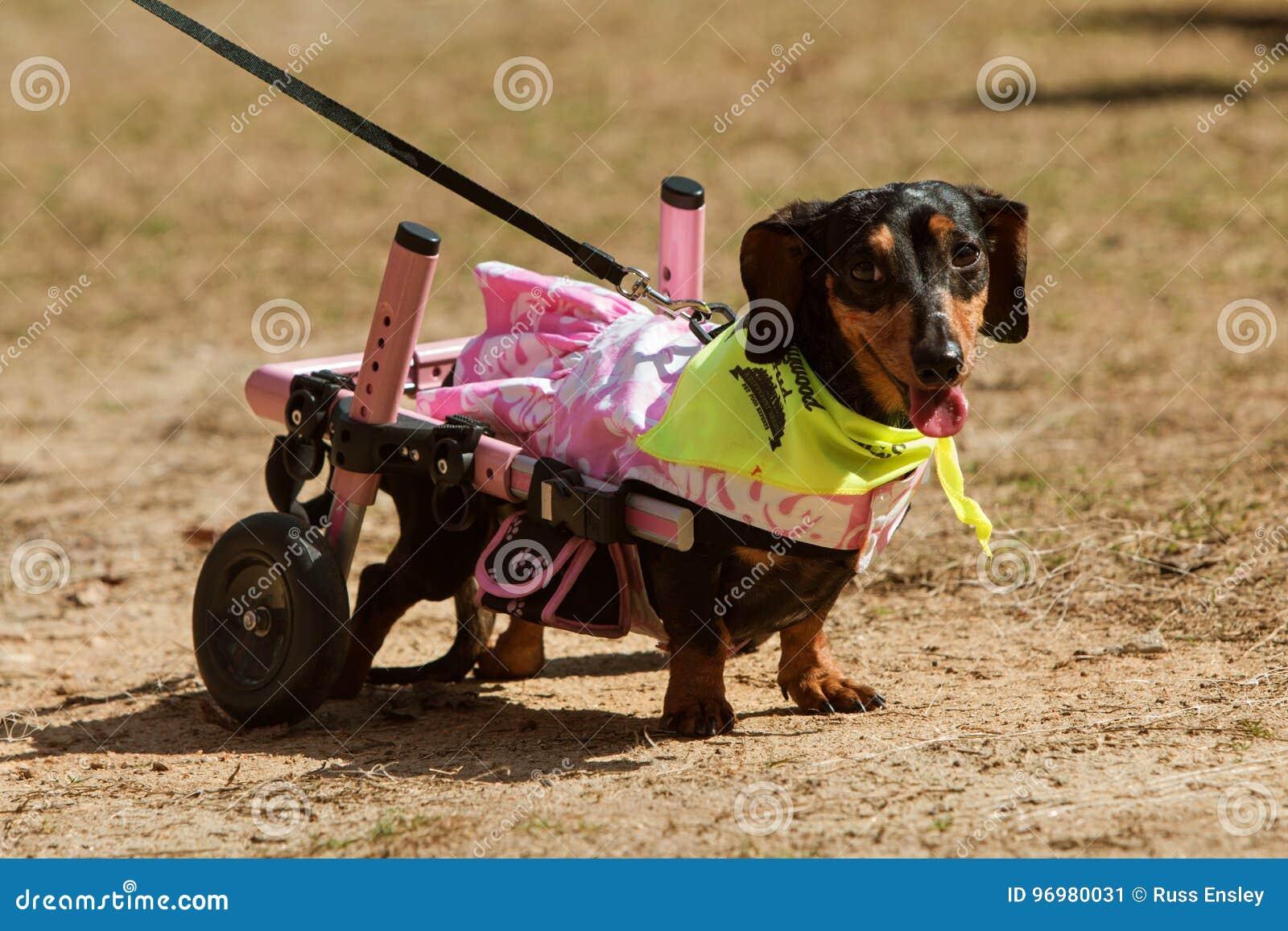与被麻痹的后腿的达克斯猎犬佩带附上轮子在事件