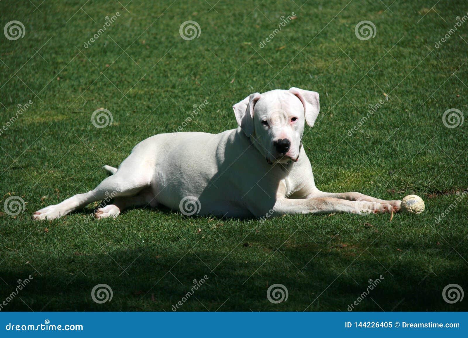 与说谎在绿草的球的白色dogo argentino狗
