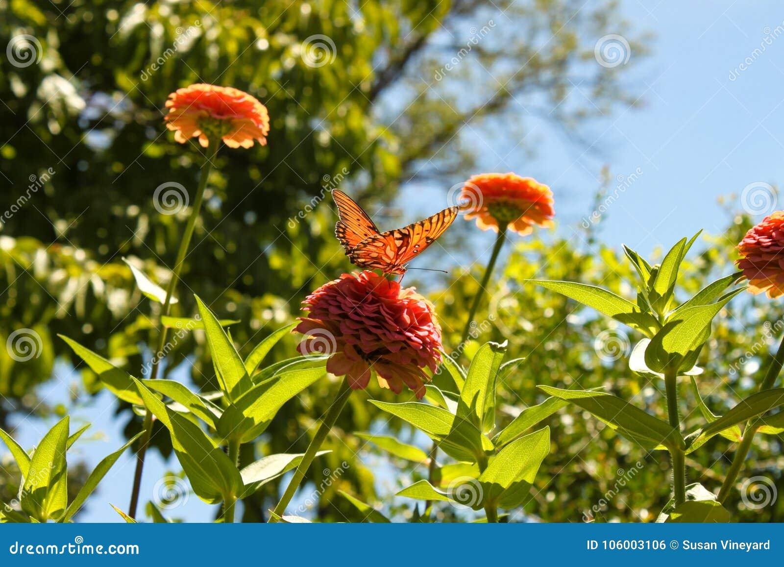 与走路通过它的在桃红色百日菊属花的翼的太阳的橙色蝴蝶在花园-被弄脏的背景里-浅focu