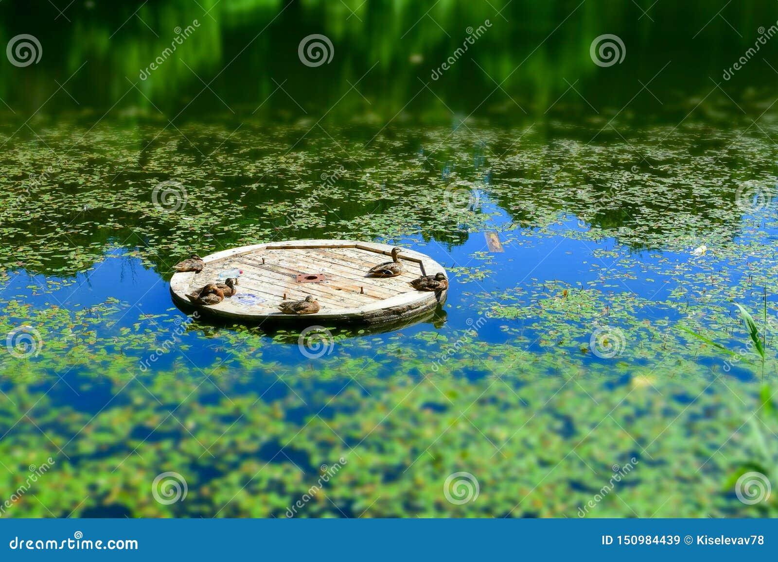 与选择聚焦的风景 鸭子在一艘木木筏取暖在阳光下在湖中间 r