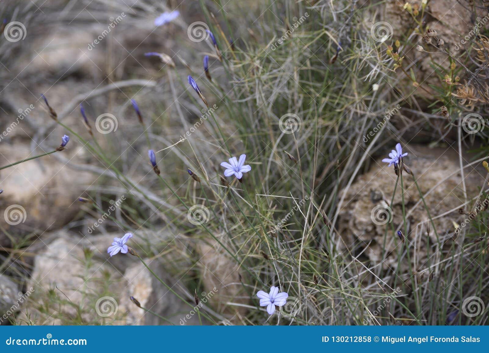 与钉的紫罗兰色花在小卵石