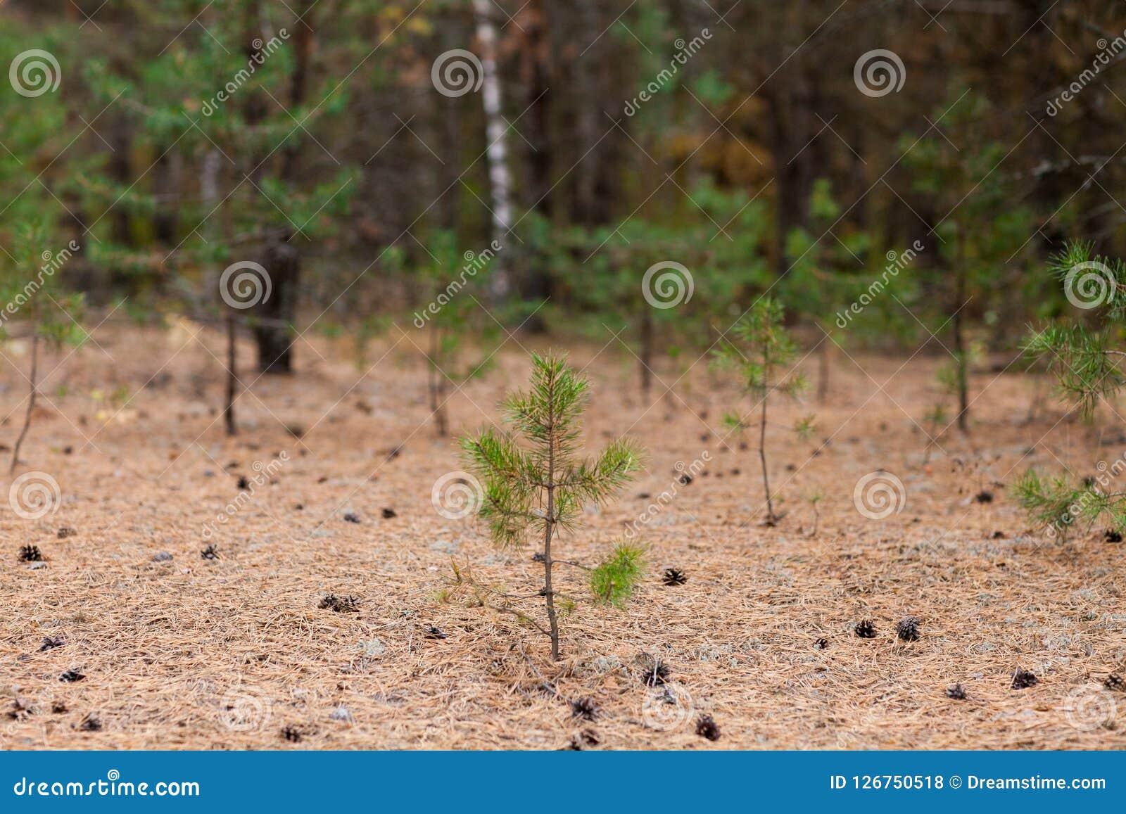 与锥体的小的杉树在地面
