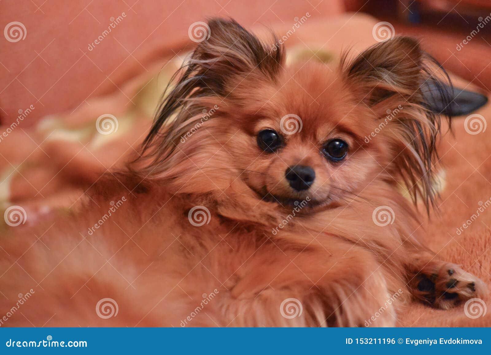 与长发的纯血统矮小的棕色狗波美丝毛狗