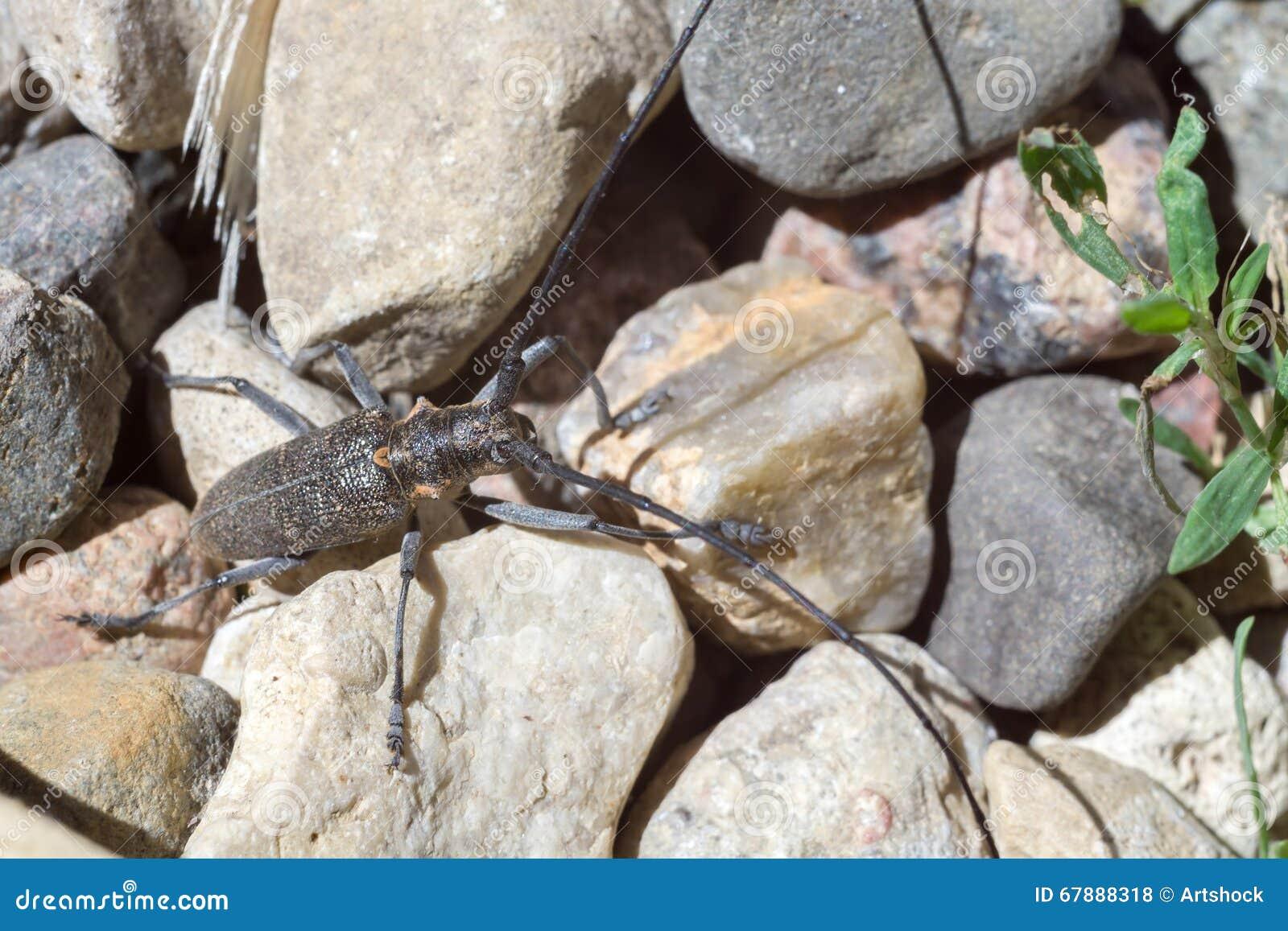 与长的天线的甲虫