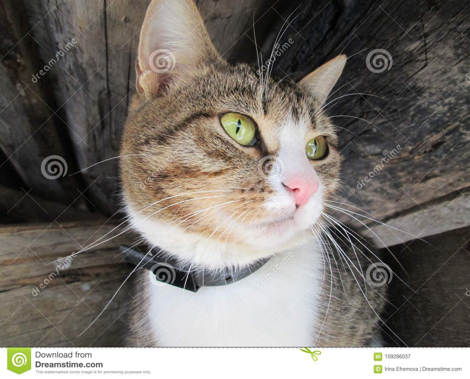 与长的颊须的滑稽的猫