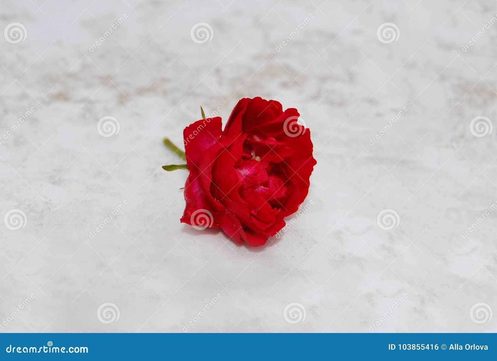 与雨珠的伯根地玫瑰色花在石头说谎