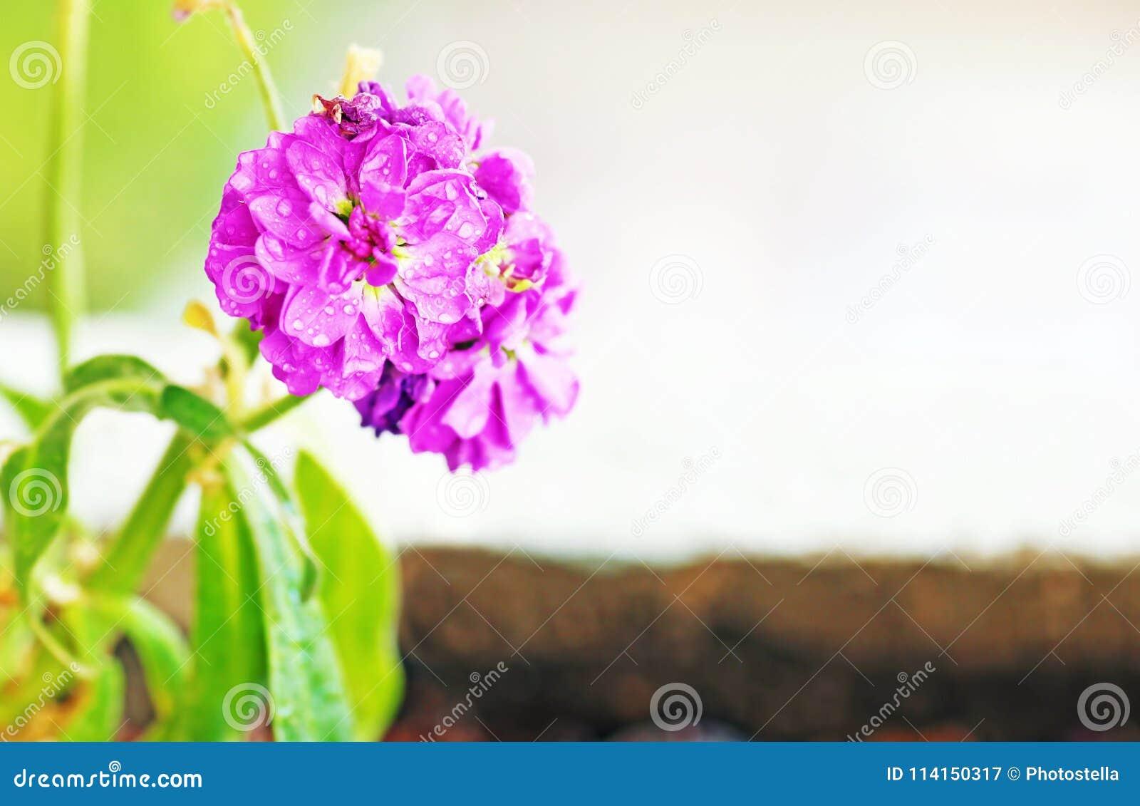 与雨珠-接近的花的开花的湿紫色花-春天自然
