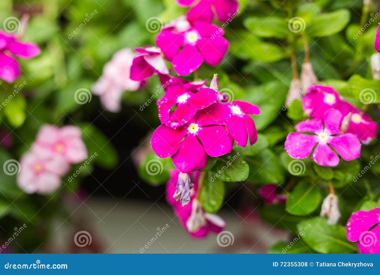 与雨的花在庭院,西部印地安荔枝螺,长春花属roseus,长春蔓花, Bringht眼睛里滴下