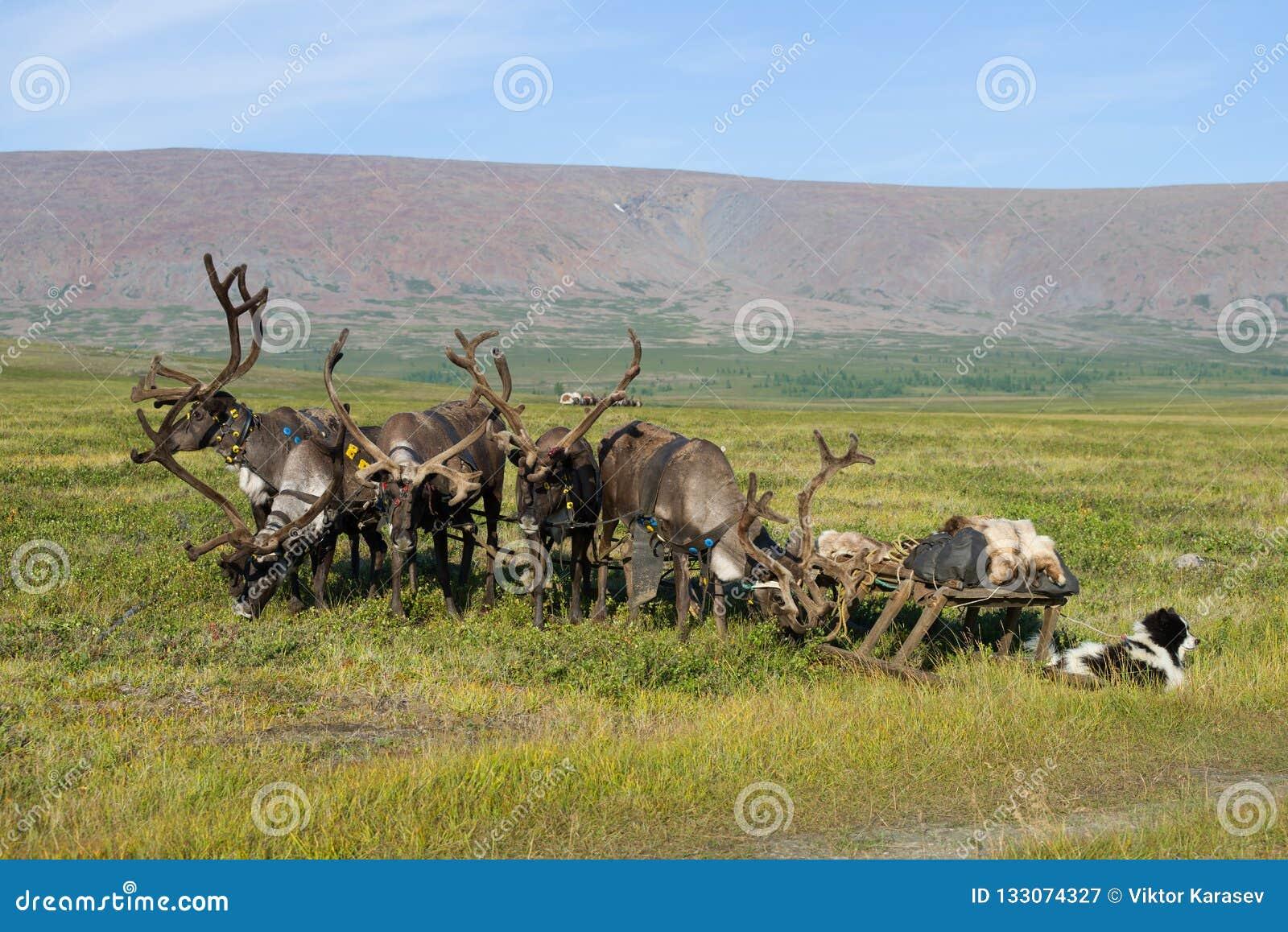 与雪撬的驯鹿在Yamal寒带草原 俄国