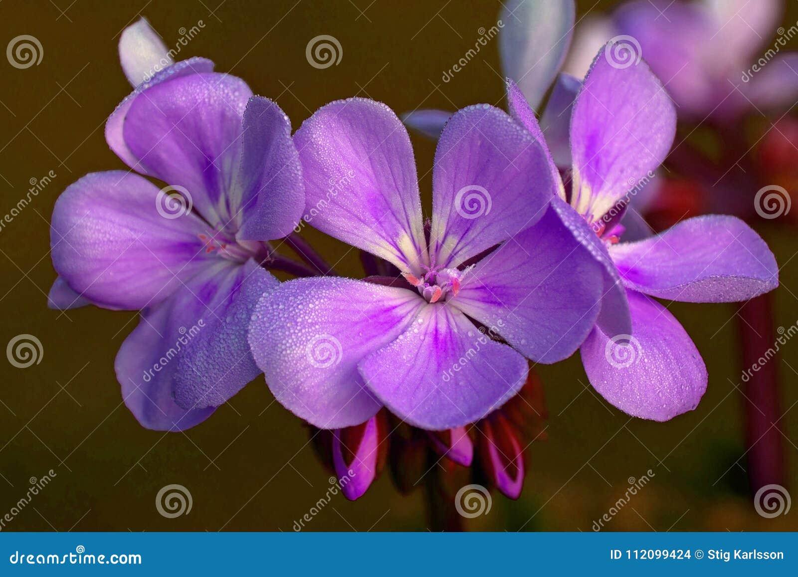 与露水的紫罗兰色天竺葵早晨