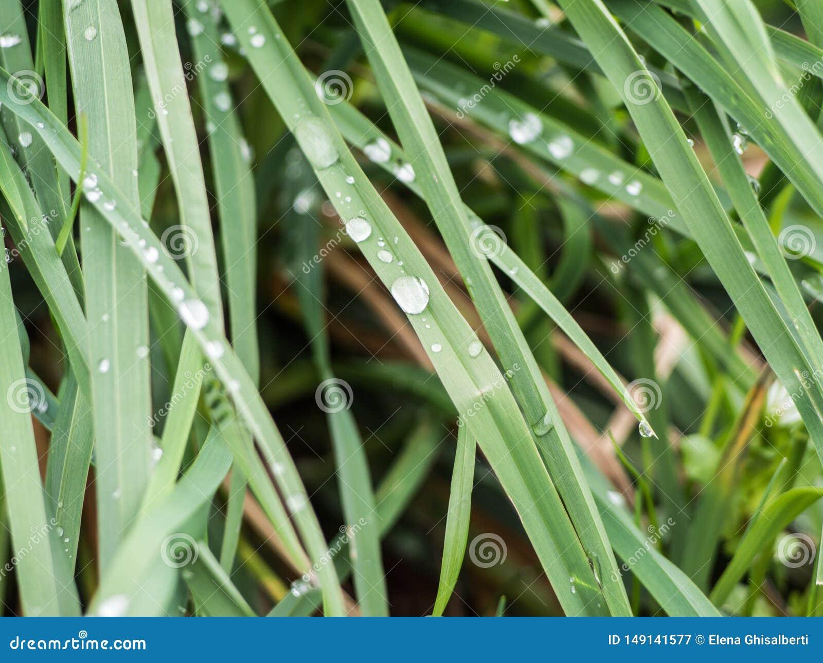 与露滴特写镜头的新鲜的绿草