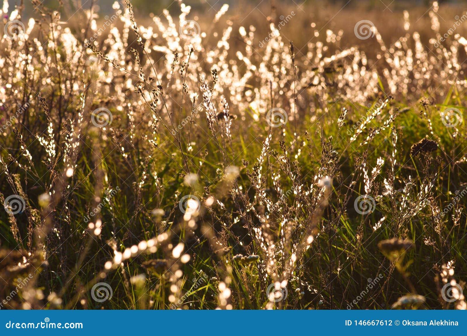 与露滴的草