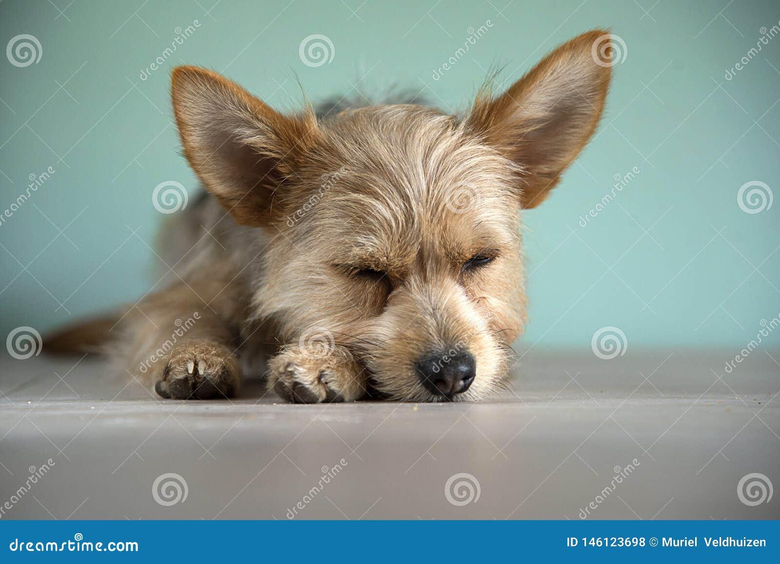 与青斑眼睛的逗人喜爱的混合青斑merle奇瓦瓦狗和约克夏狗小狗