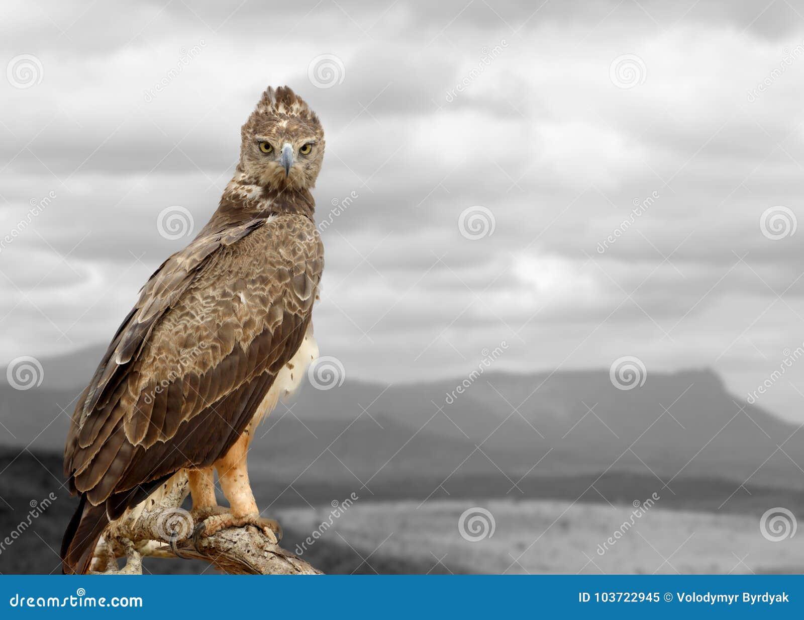 与颜色鹰的黑白摄影
